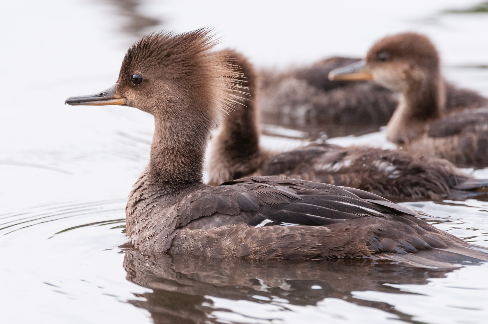 Family of Hooded Mergansers swimming away after their short rest.
