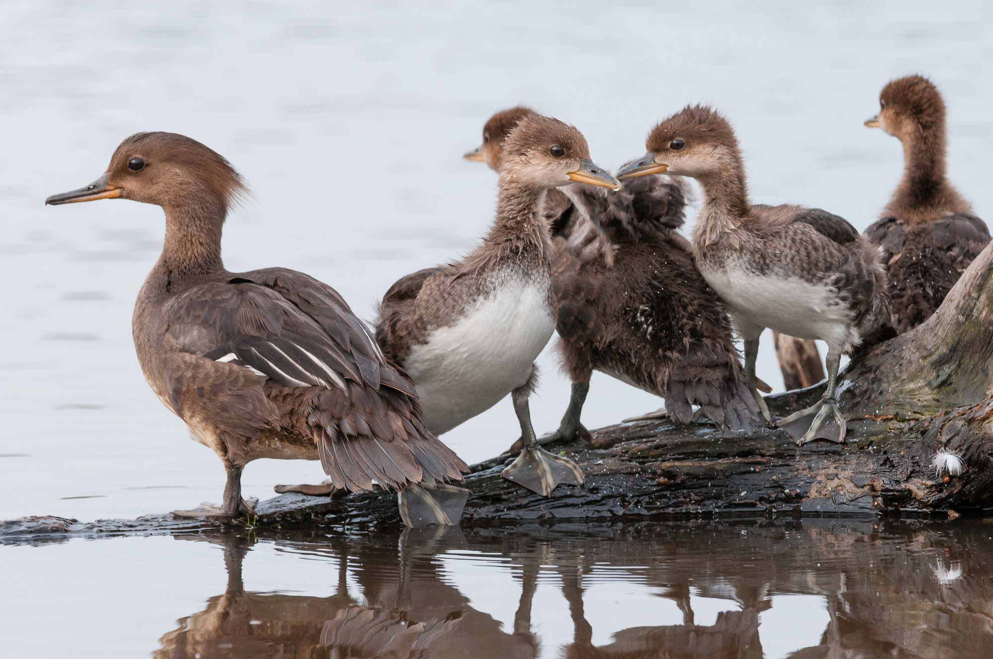 Rest time over, the family of Hooded Mergansers rise. Notice how sleek the mother's head can sometimes look.