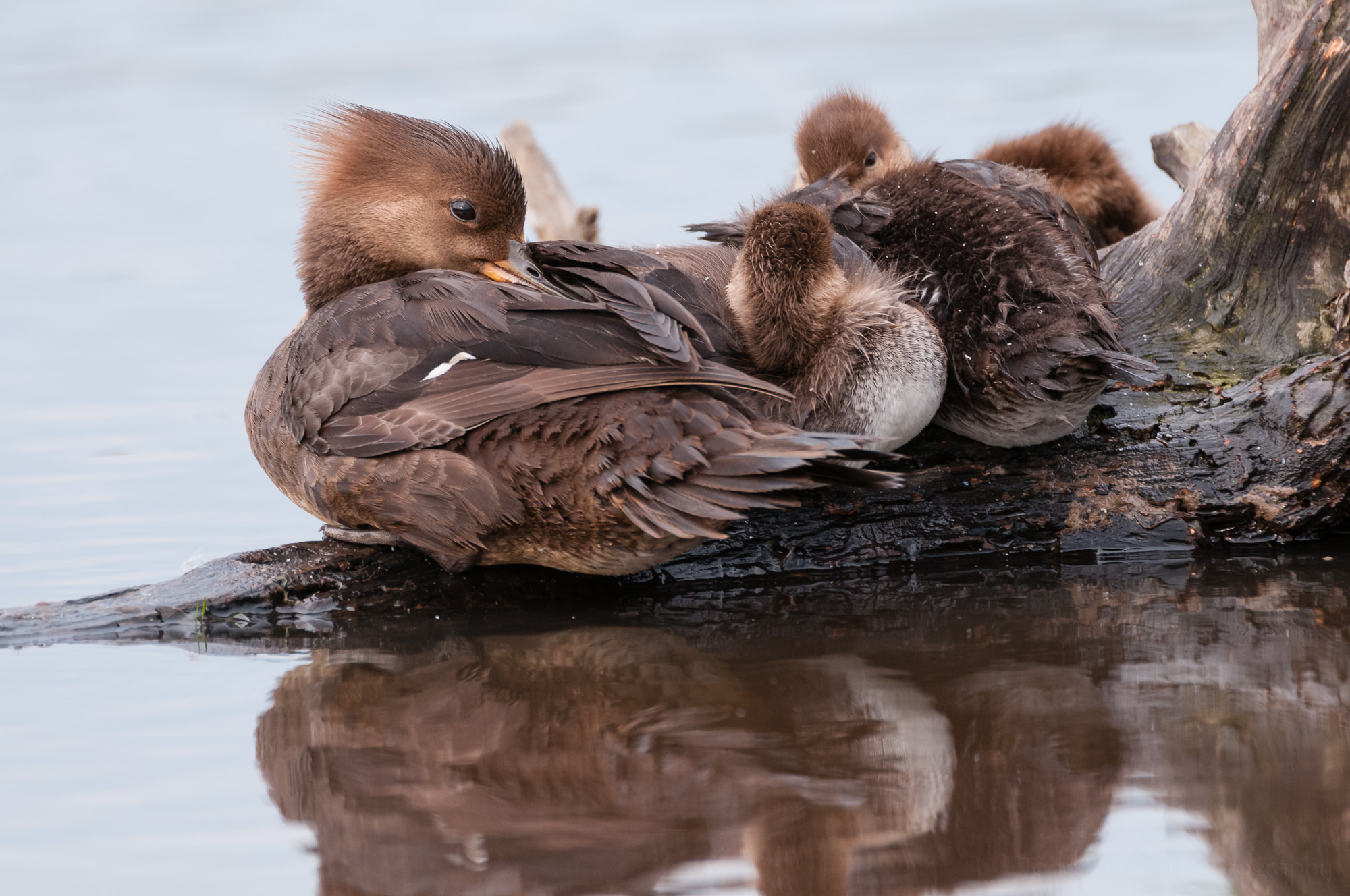 The Hooded Merganser mother looks my way one more time before closing her eyes and napping with her young family.