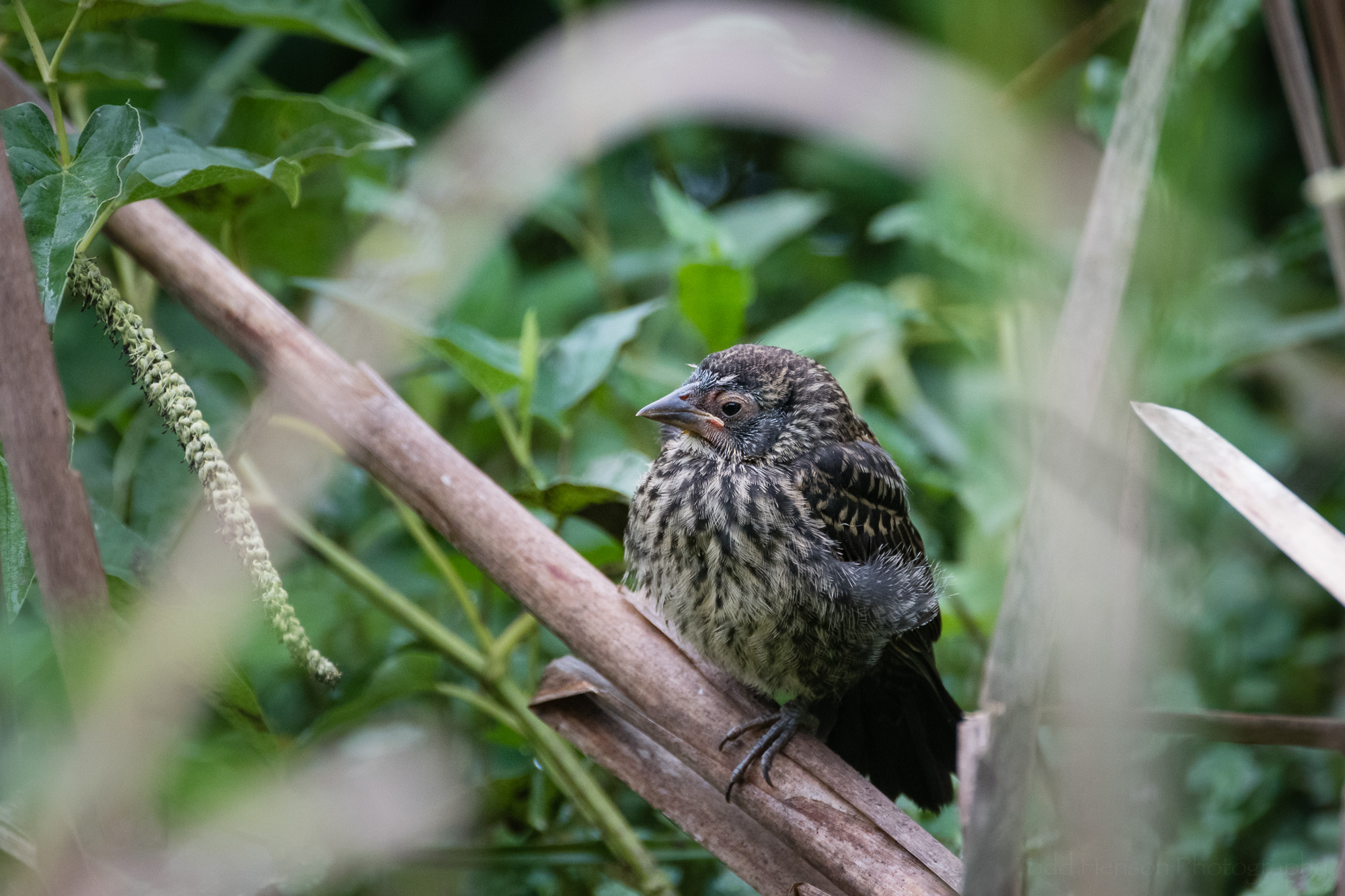 Parting image of the young fledged Red-winged Blackbird.