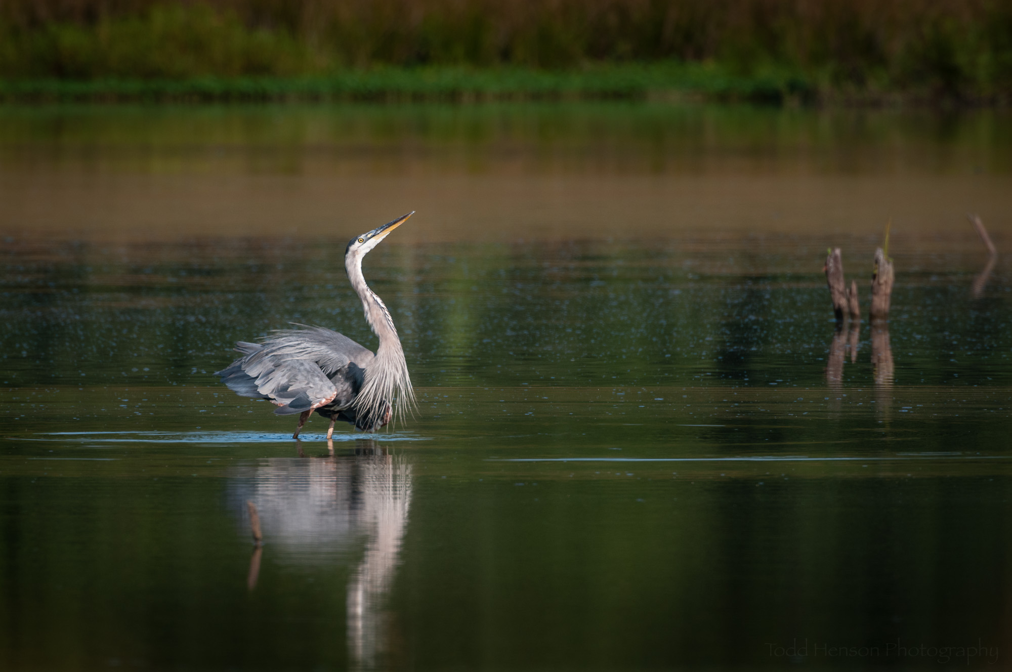 Great Blue Heron strutting its stuff, reflected in the wetlands.