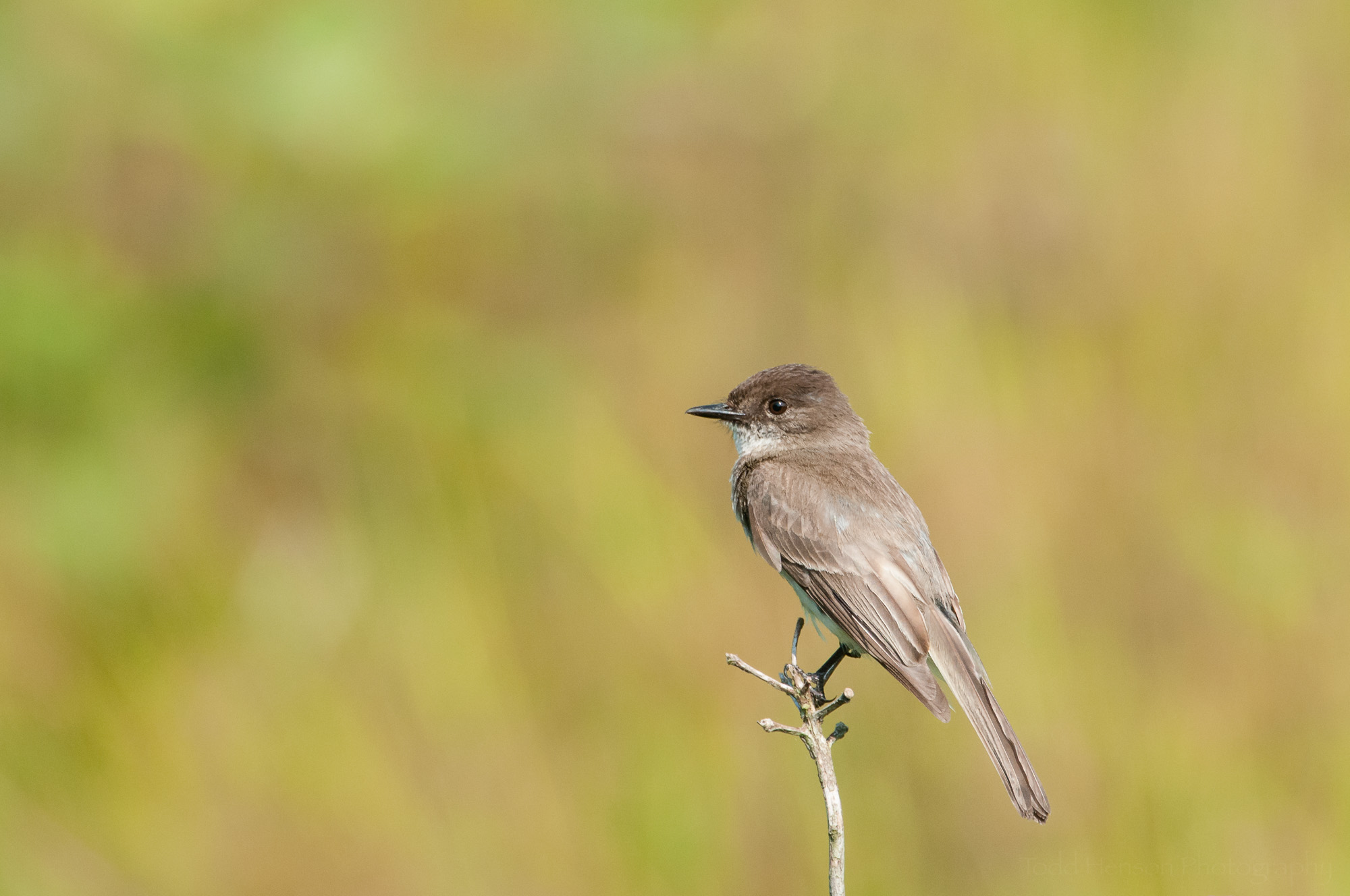 Eastern Phoebe looking to the left