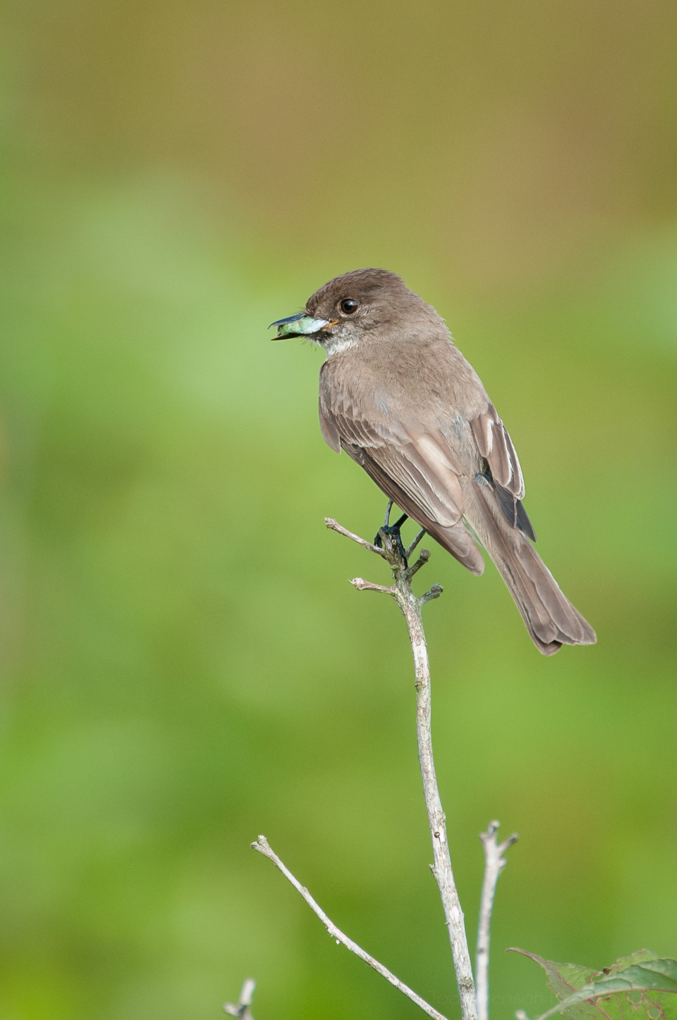 Eastern Phoebe with an insect in its beak