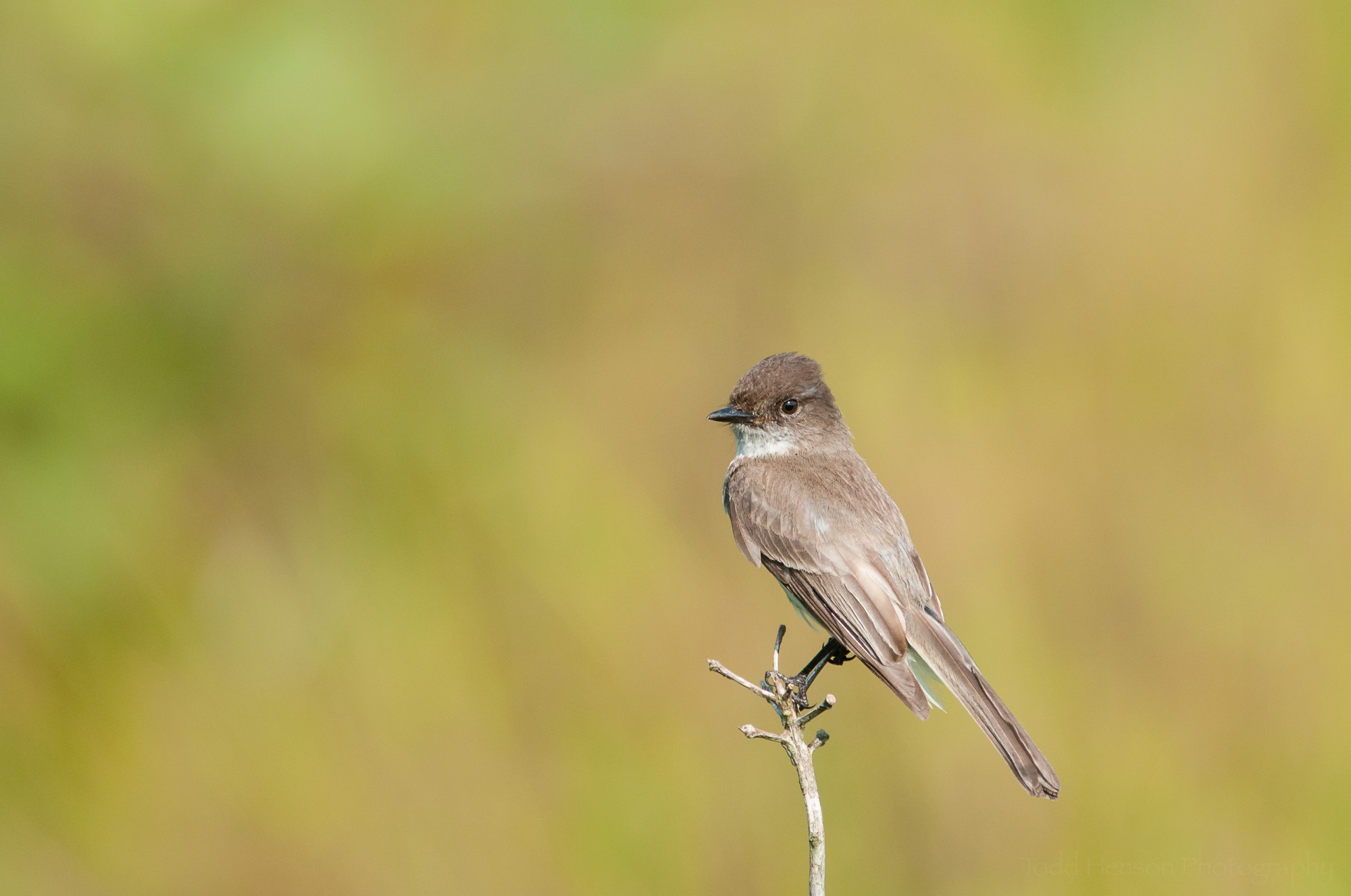 Eastern Phoebe tilting its head towards the camera