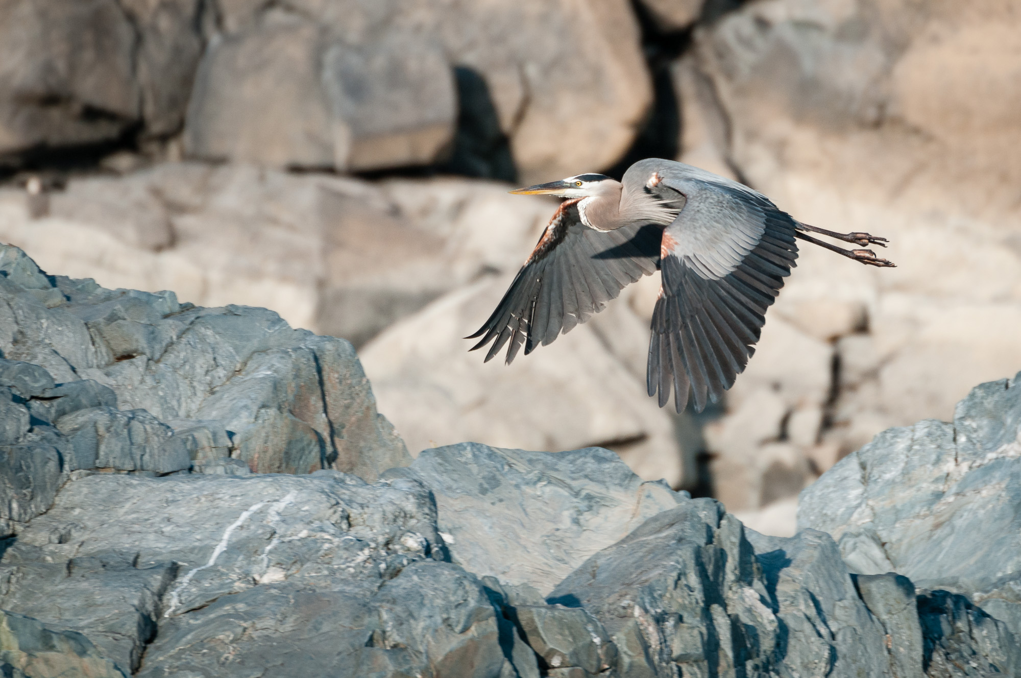 Great Blue Heron flying away from the scene of the crime.