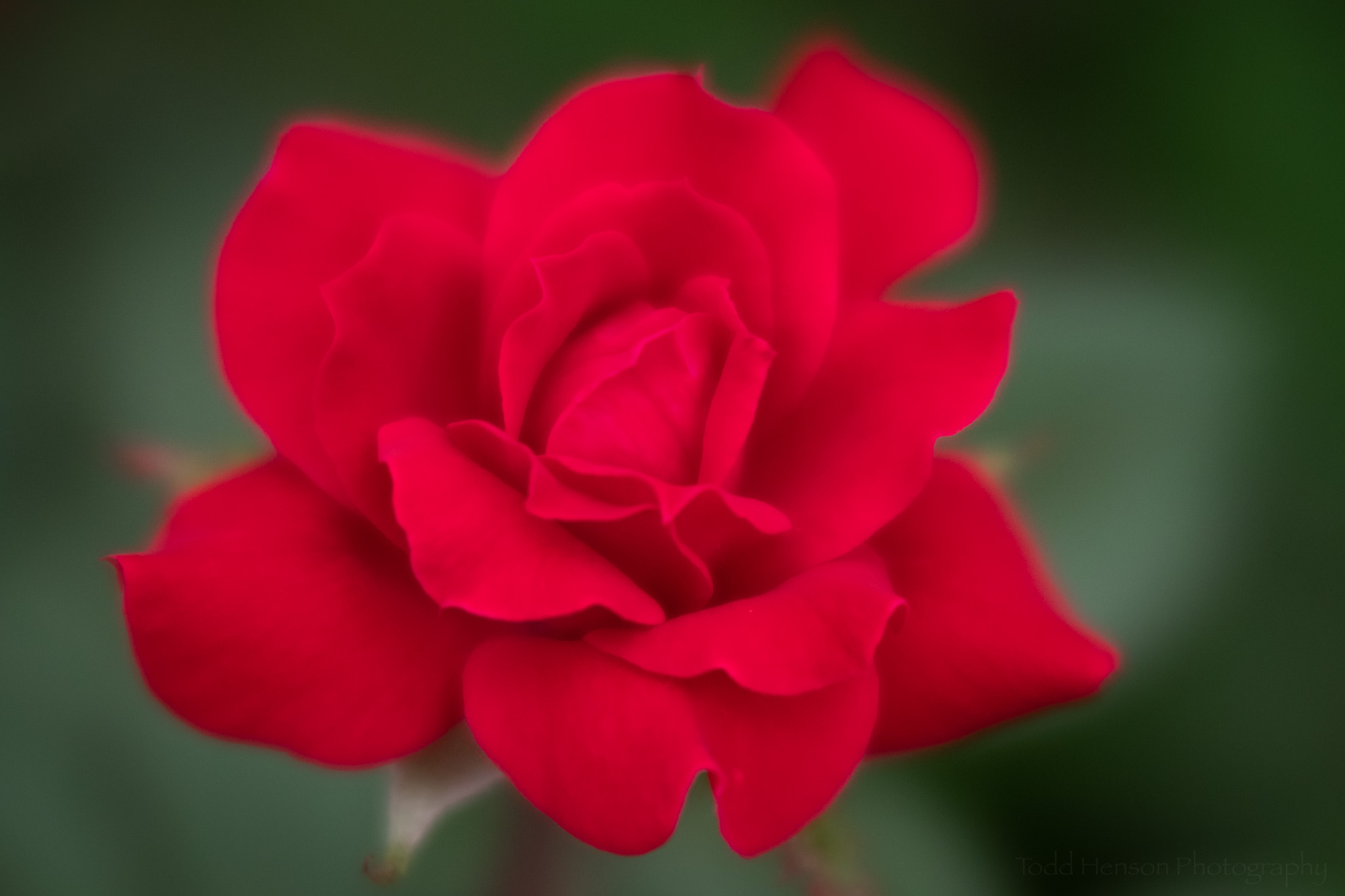A red rose photographed with the Lensbaby Velvet 56 using a larger aperture to increase the soft, ethereal look.