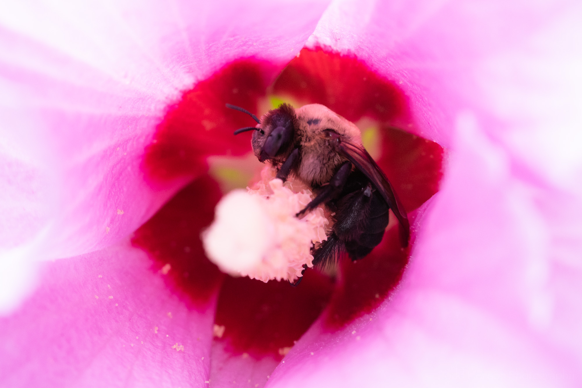 A bee sheltered in a Rose of Sharon flower.