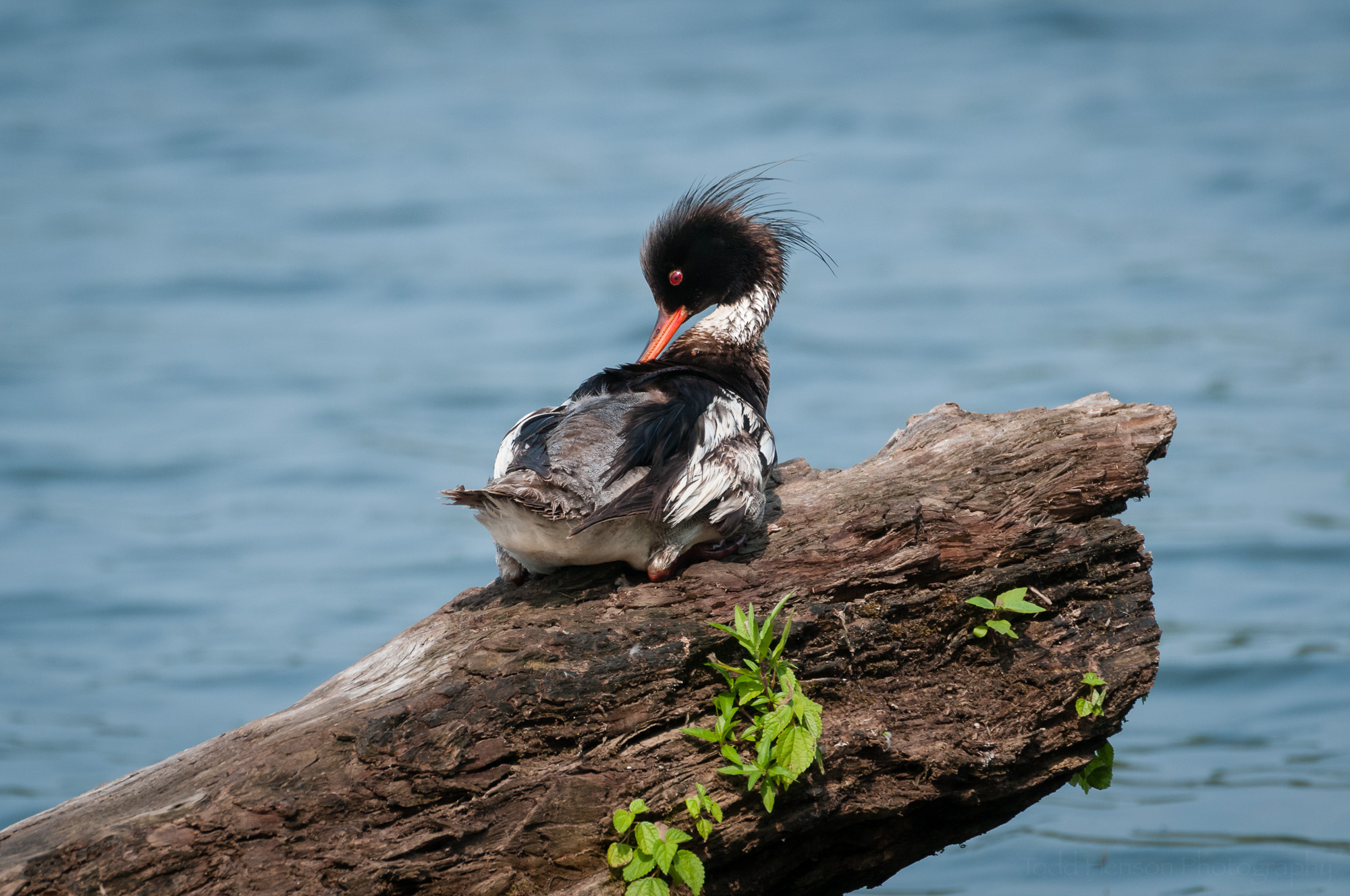 Male Red-breasted Merganser preening on a log.