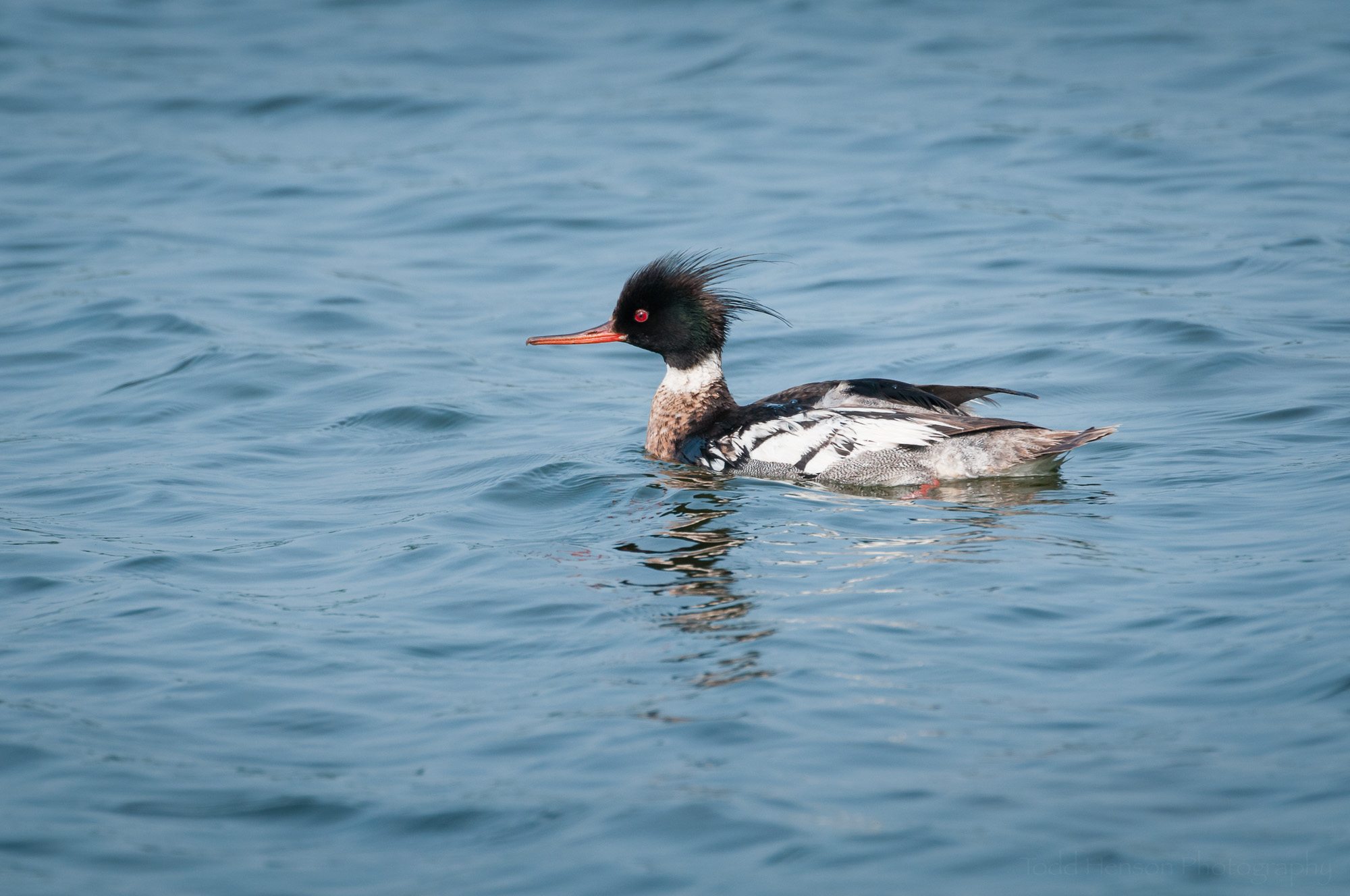 Male Red-breasted Merganser swimming in the bay.