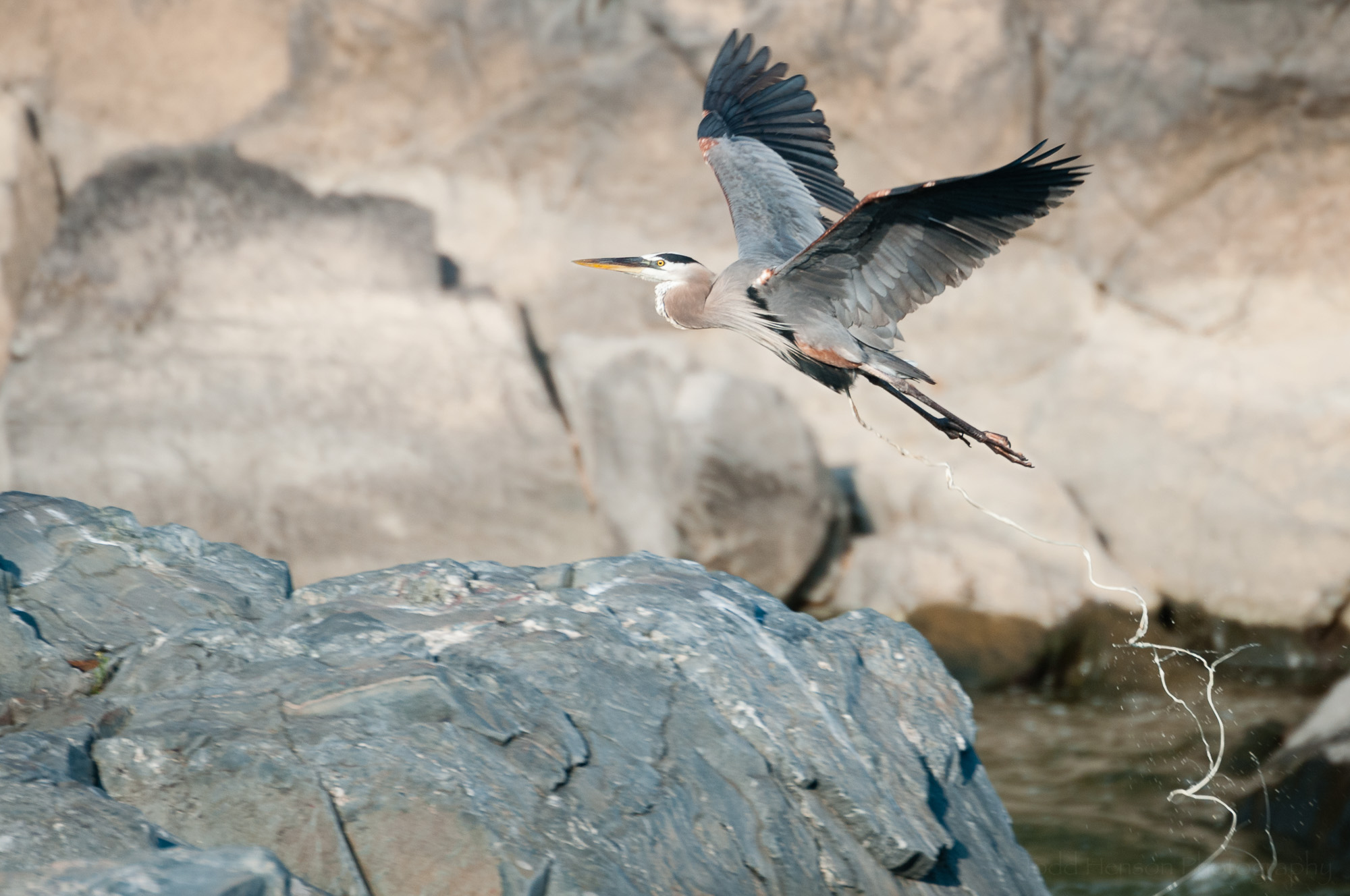 I feel sorry for any poor paddler in the river below this Great Blue Heron! Click on the image for a larger view. Go ahead, I dare you!