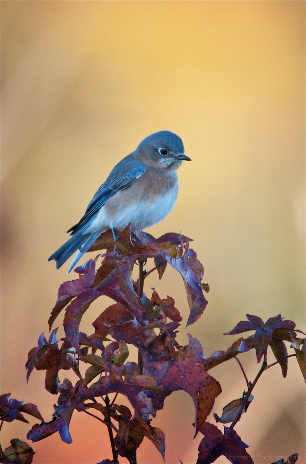 A cloud sheltered this Eastern Bluebird from the sun, yet its light illuminated the autumn colors in the background.