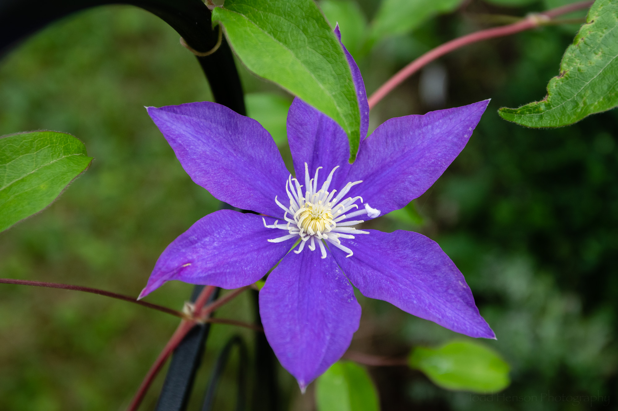 Clematis in the Garden #1