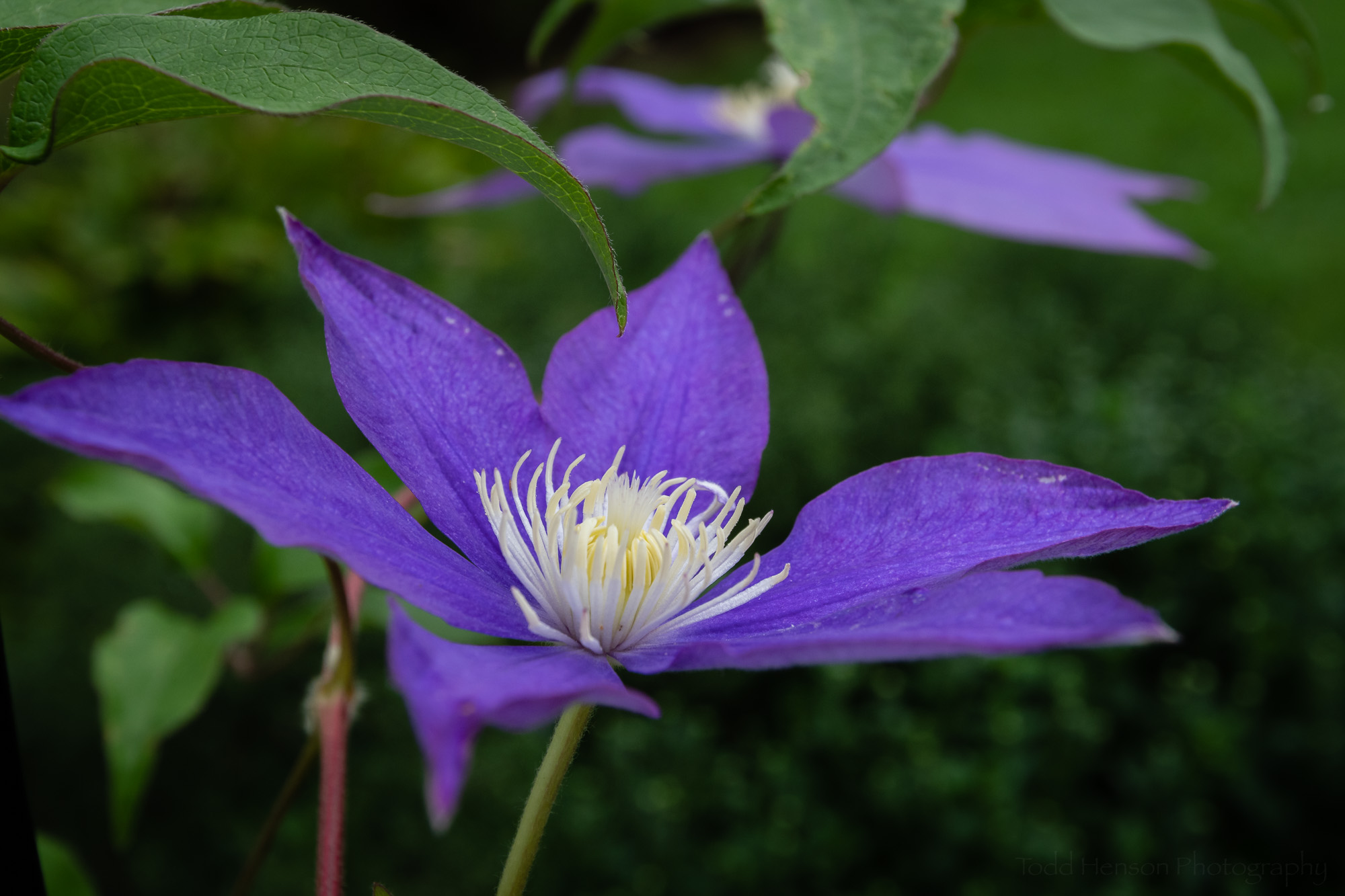 Clematis in the Garden #3