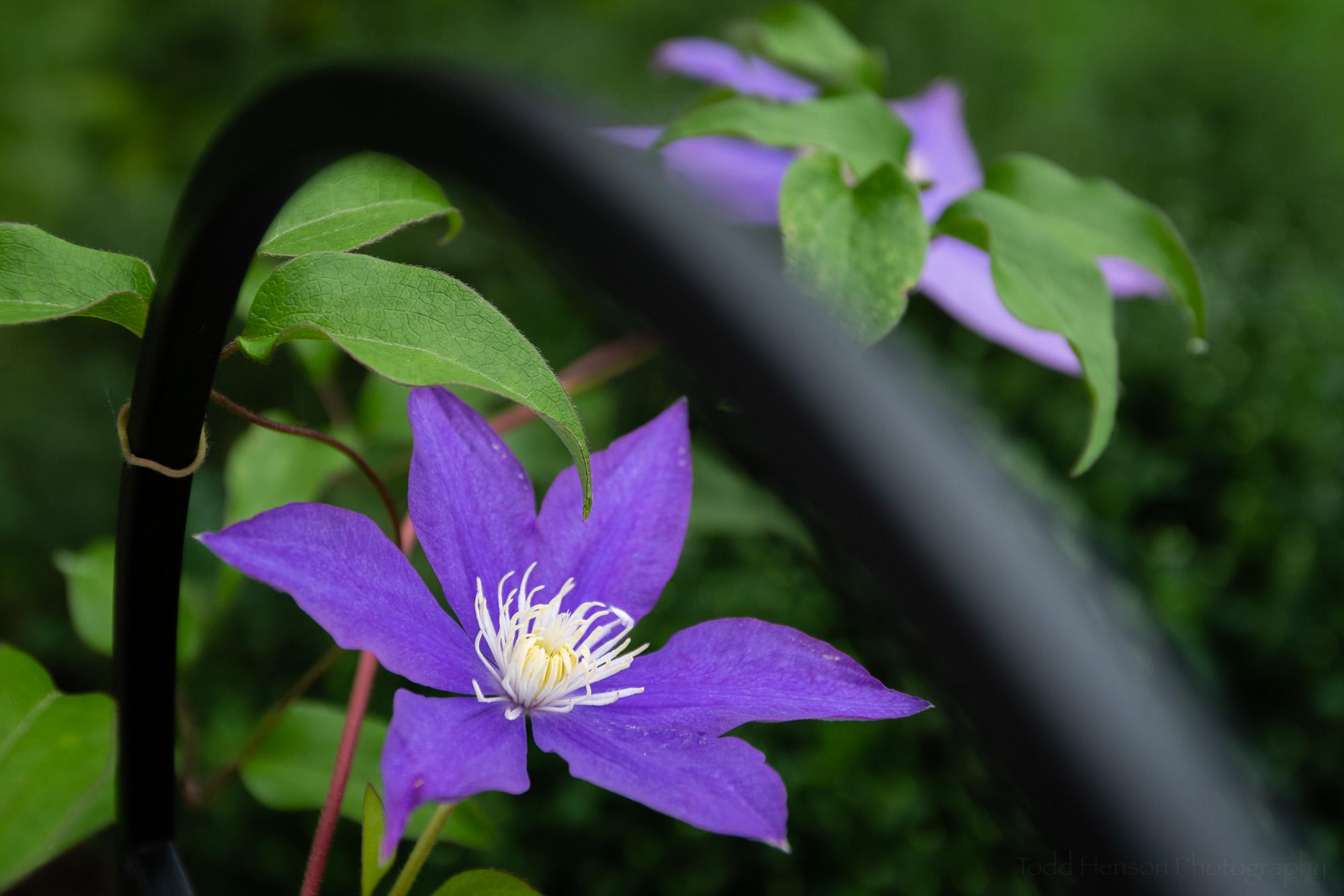 Clematis in the Garden #5
