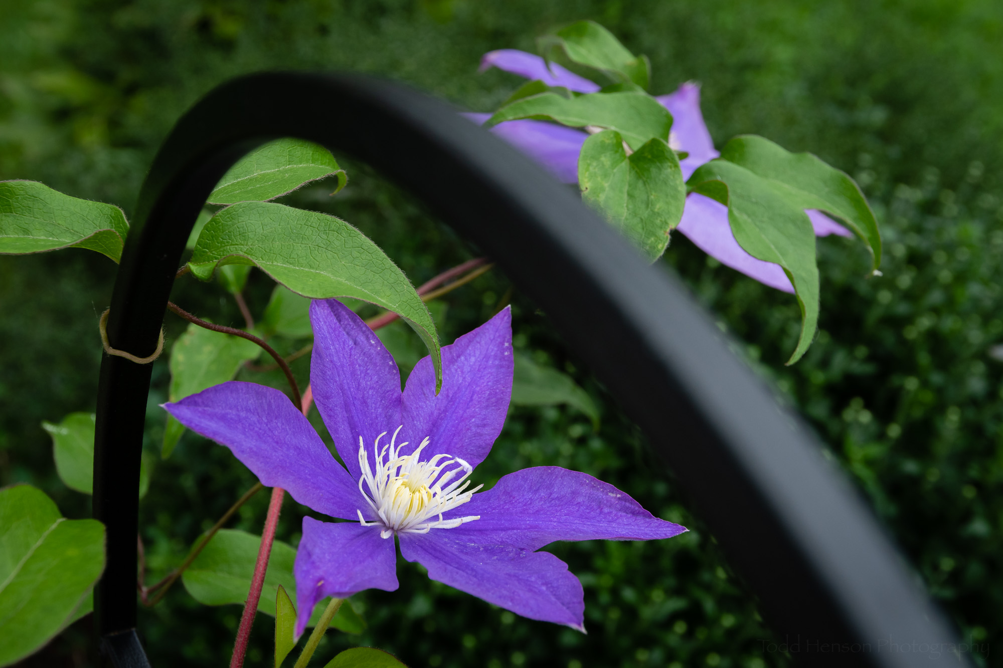 Clematis in the Garden #4