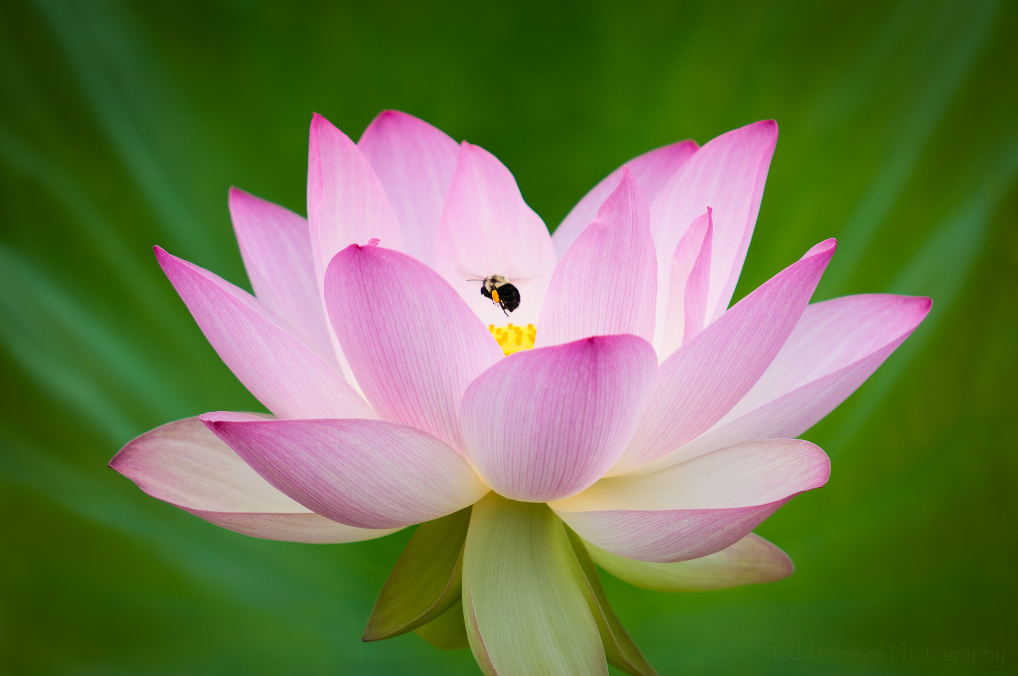 Image of Lotus Flower with Bumble Bee against green background