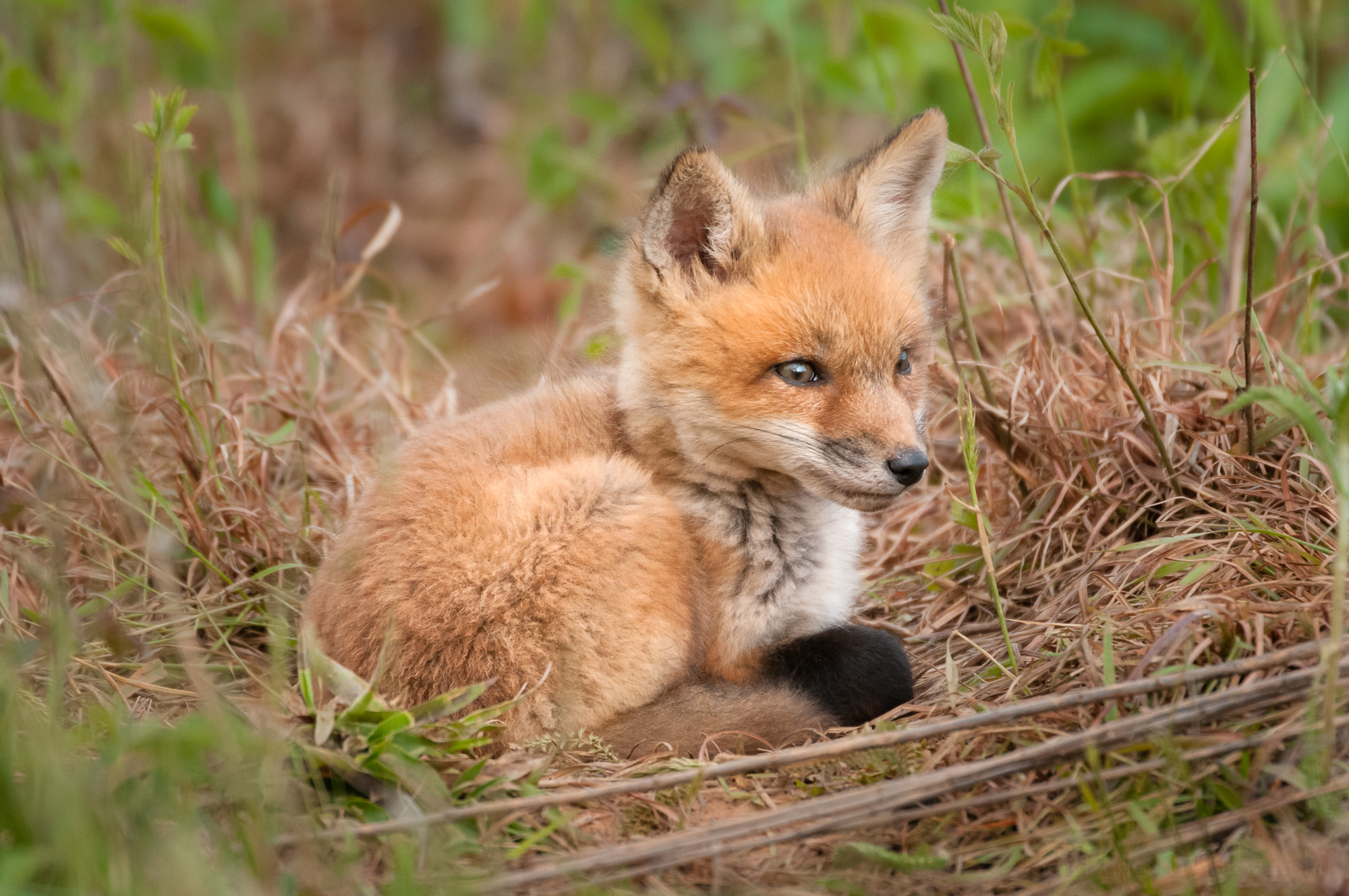 Red Fox Kit - Watchful #1