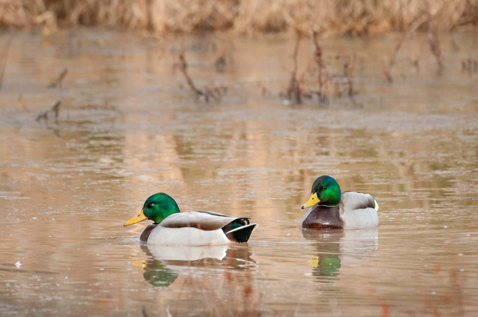 A pair of male mallards. Click on the image to see a larger view, then look closely at the left mallard. It has closed its  nictitating membrane  over its eye. The mallard to the right has its eyes wide open.