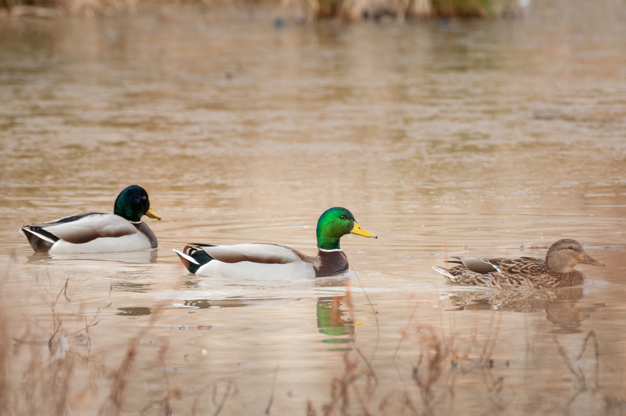 A trio of mallards. The two on the left are males, the one on the right is female. Notice how the head of the far left bird looks darker because of the different angle of light. If it turned into the light its head would look a brighter green.