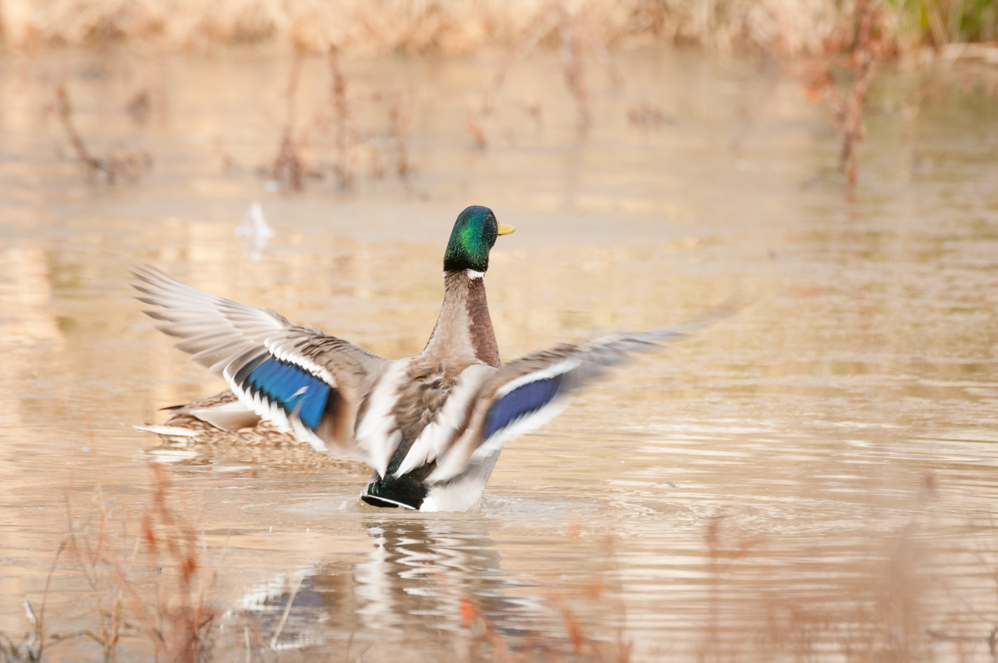 The backside of a displaying male mallard. This view lets you see their colorful wing stripes.