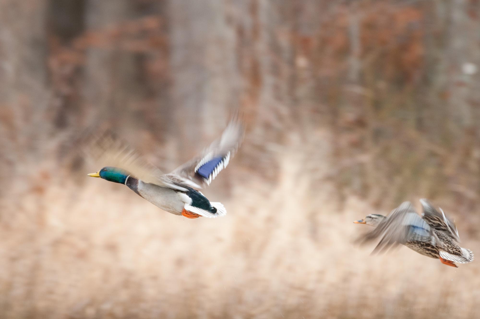 A male and female mallard taking flight.
