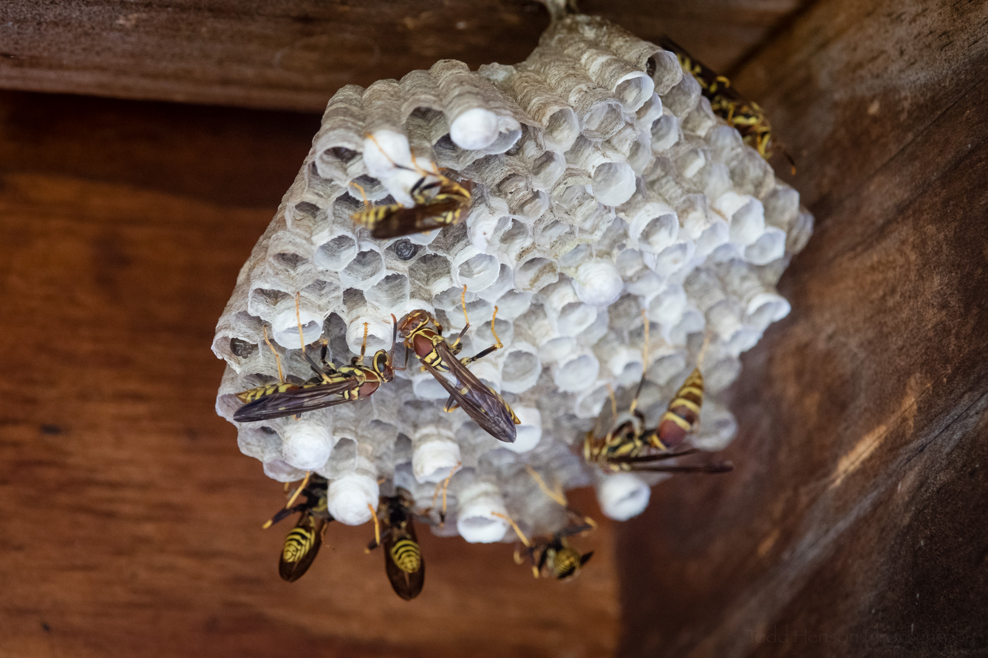 A paper wasp nest with several workers.