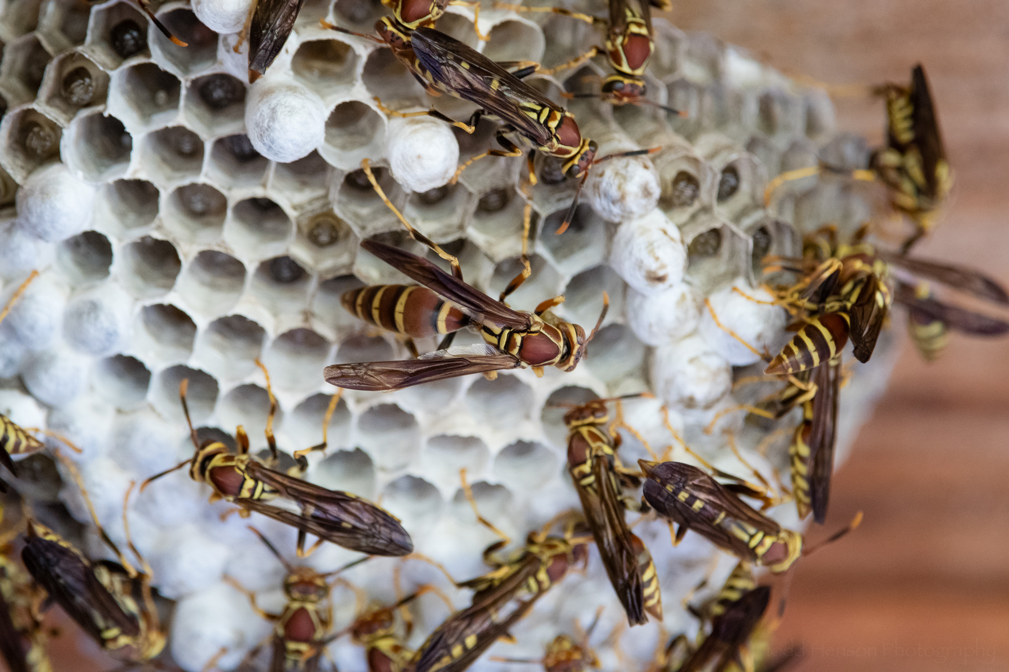 A closer look at paper wasps on their nest.