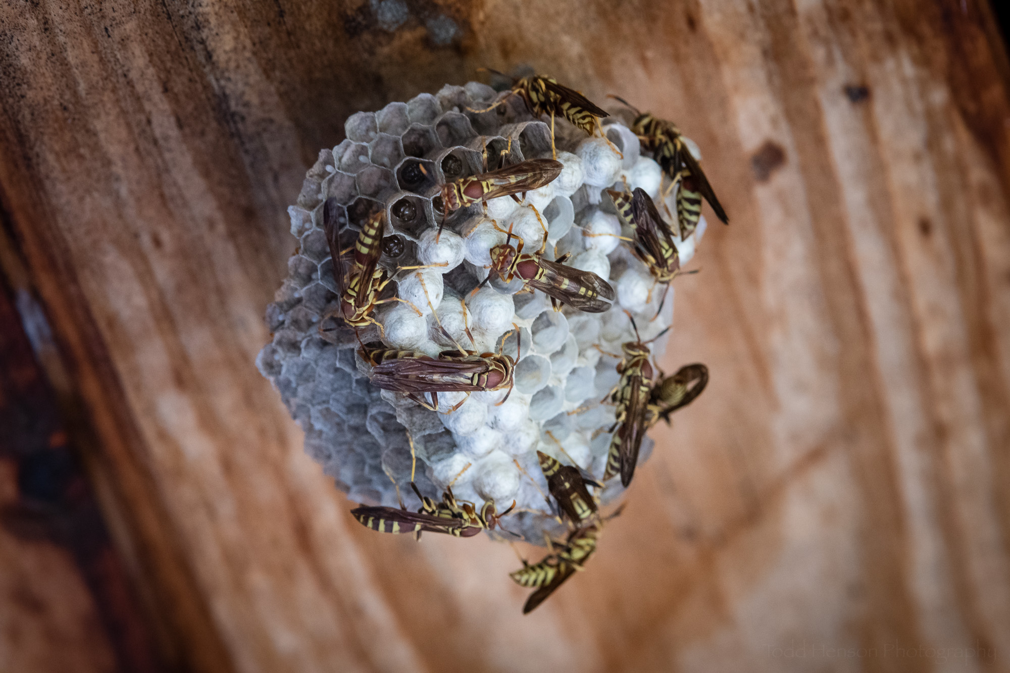 A small paper wasp nest, perhaps not as old as the others. All of these nests will be abandoned after their one and only use.