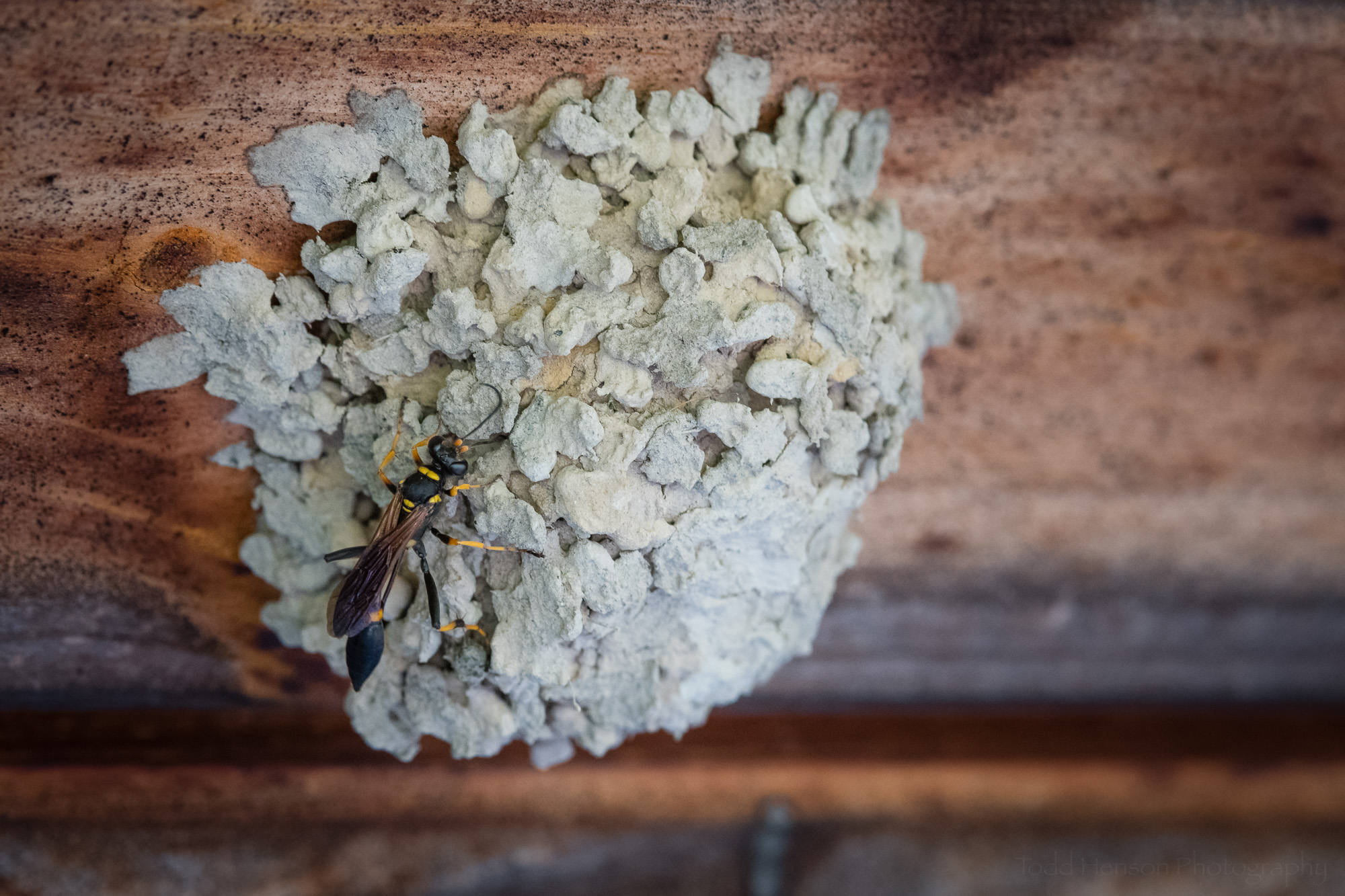 A mud dauber working on her nest.
