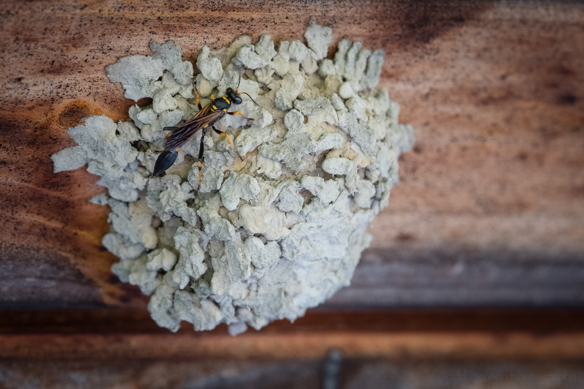 After completing her nest the mud dauber will leave her eggs to develop on their own.