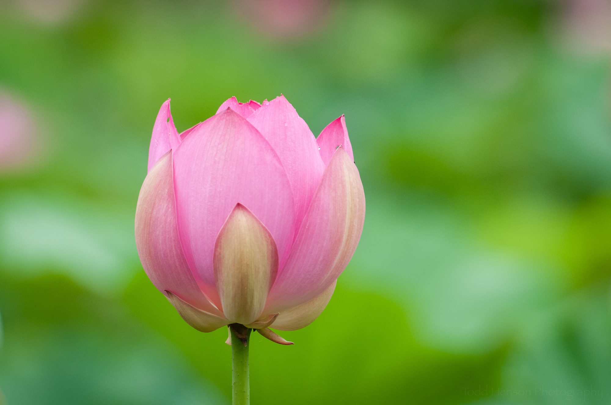 This lotus flower hasn't been open long.