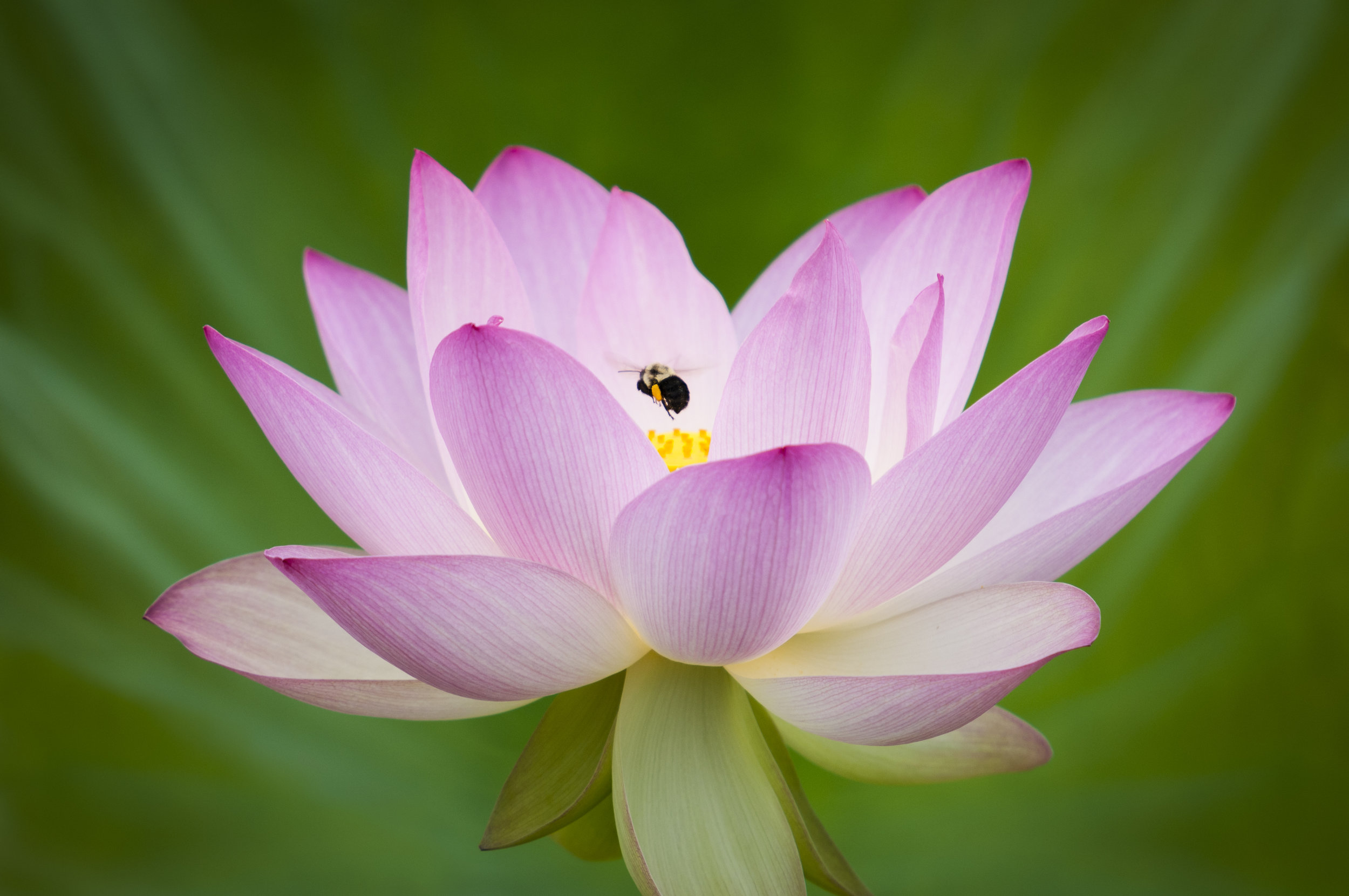 A beautiful, fully open lotus flower with a bumble bee buzzing into the center.