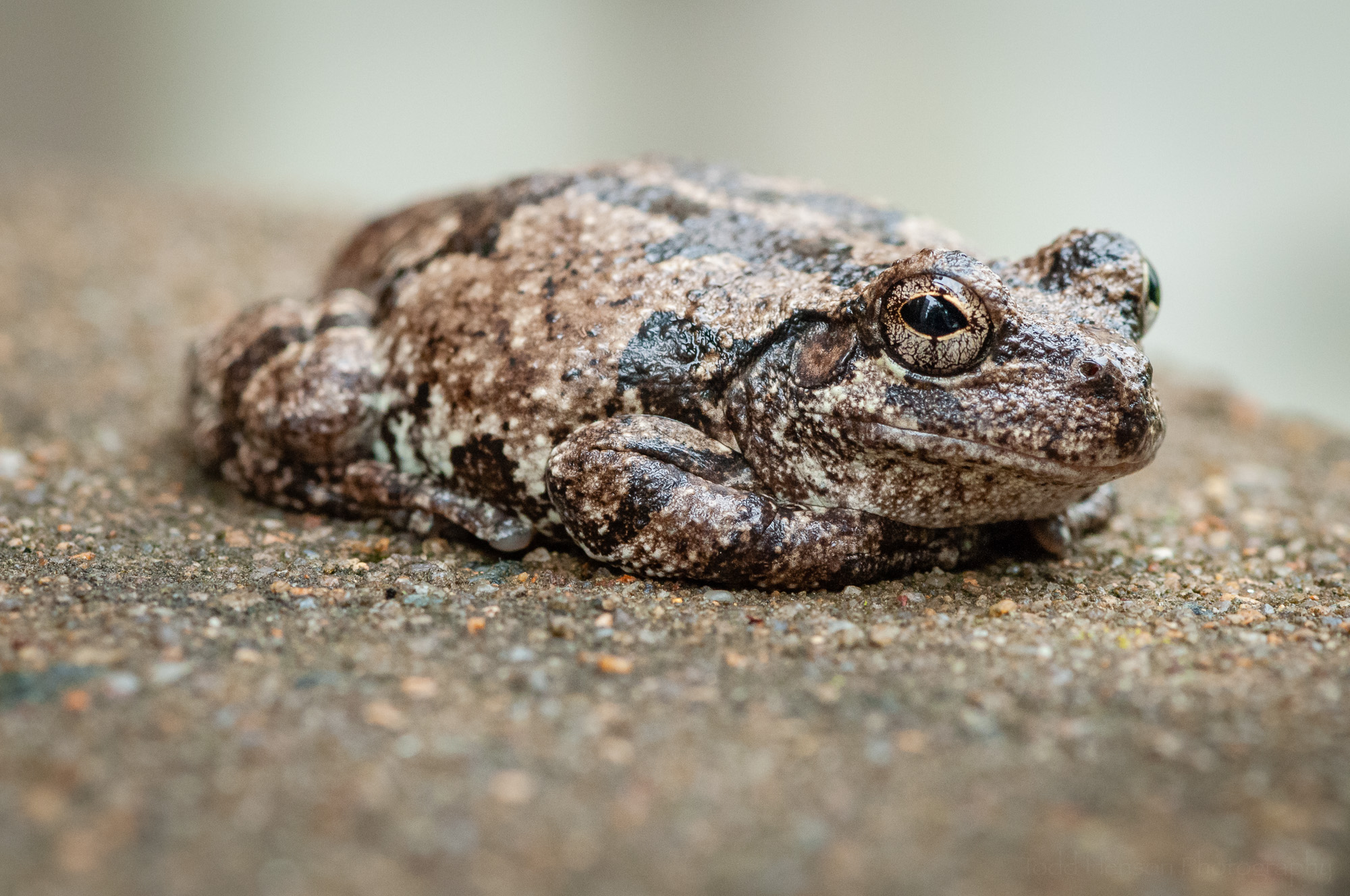 The gray treefrog has turned its eye to the camera.
