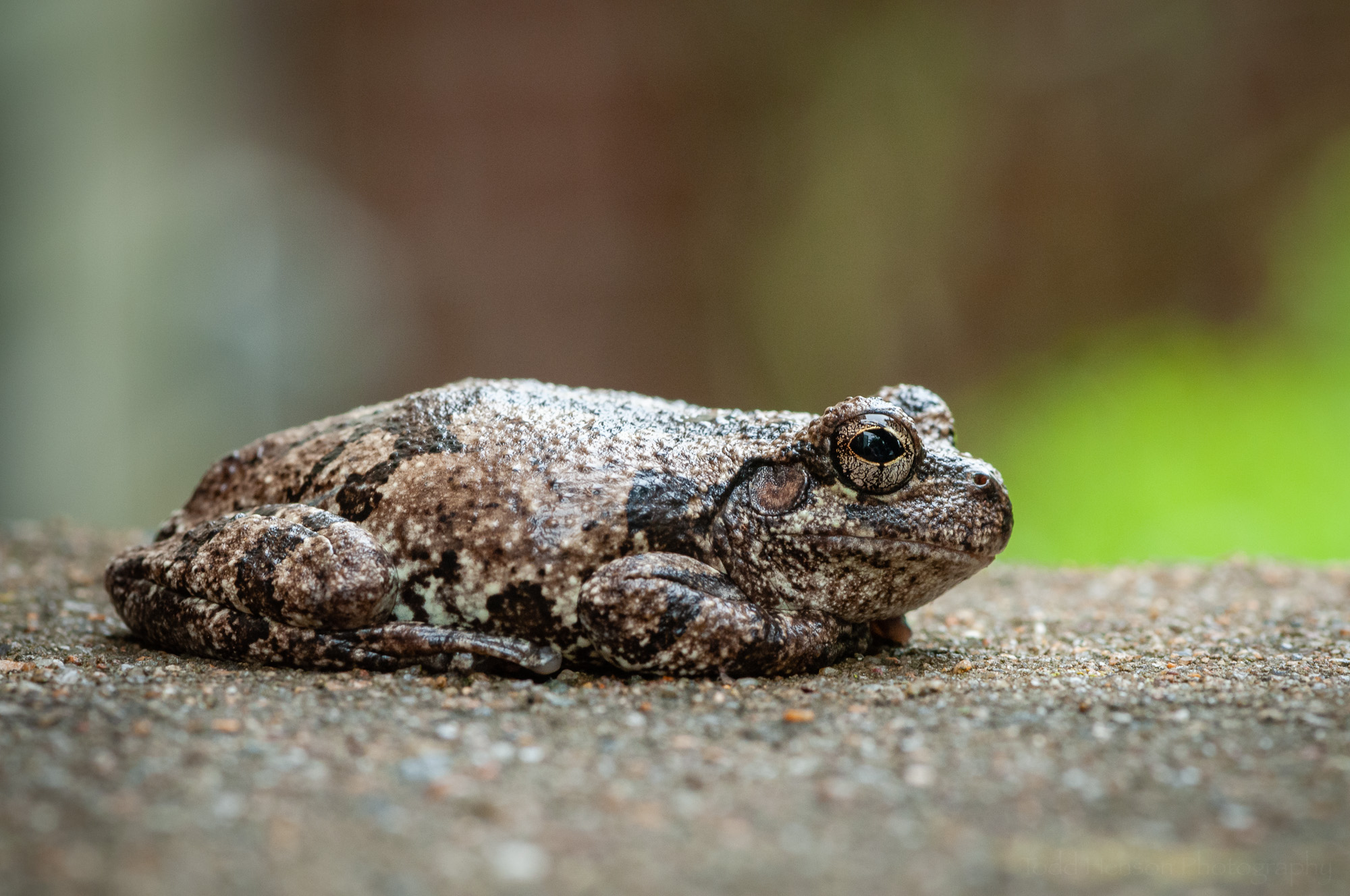 Side view of a gray treefrog.