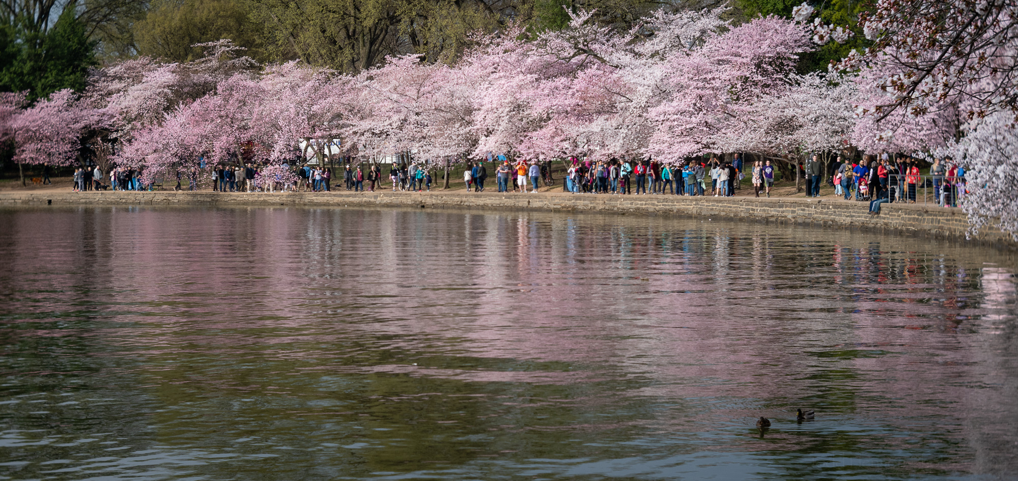 Washington, DC Cherry Blossom Crowds along the Tidal Basin
