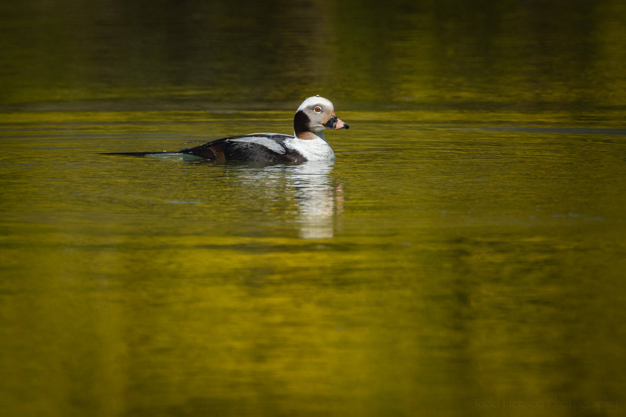On a Golden Pond  - A male Long-tailed Duck in Northern Virginia on April 6, 2019.