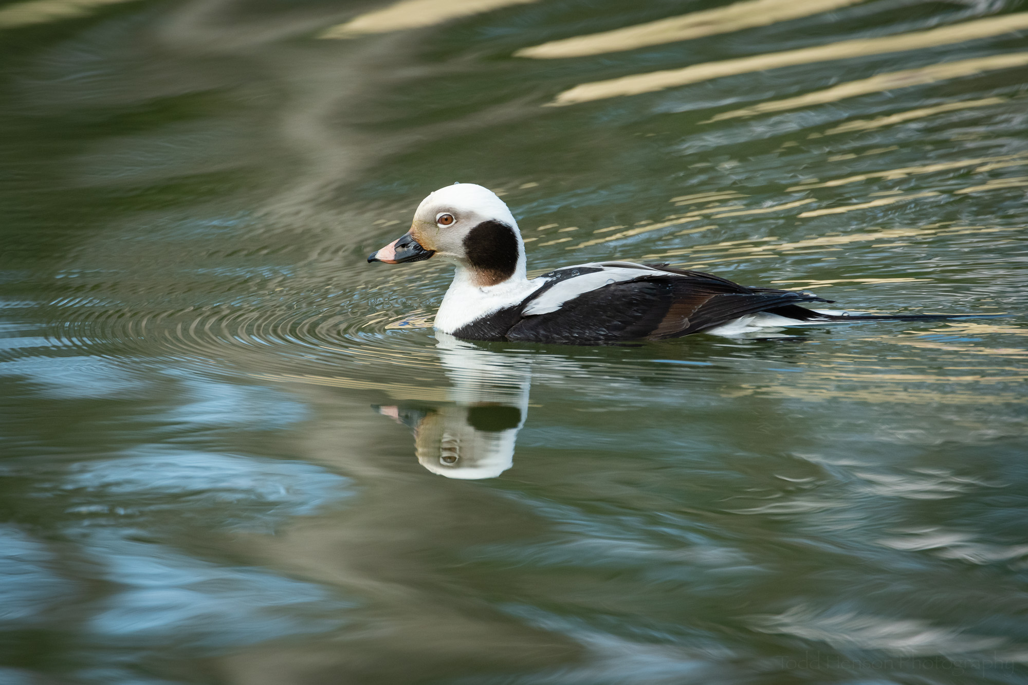 Reflecting on a Long-tailed Duck #1