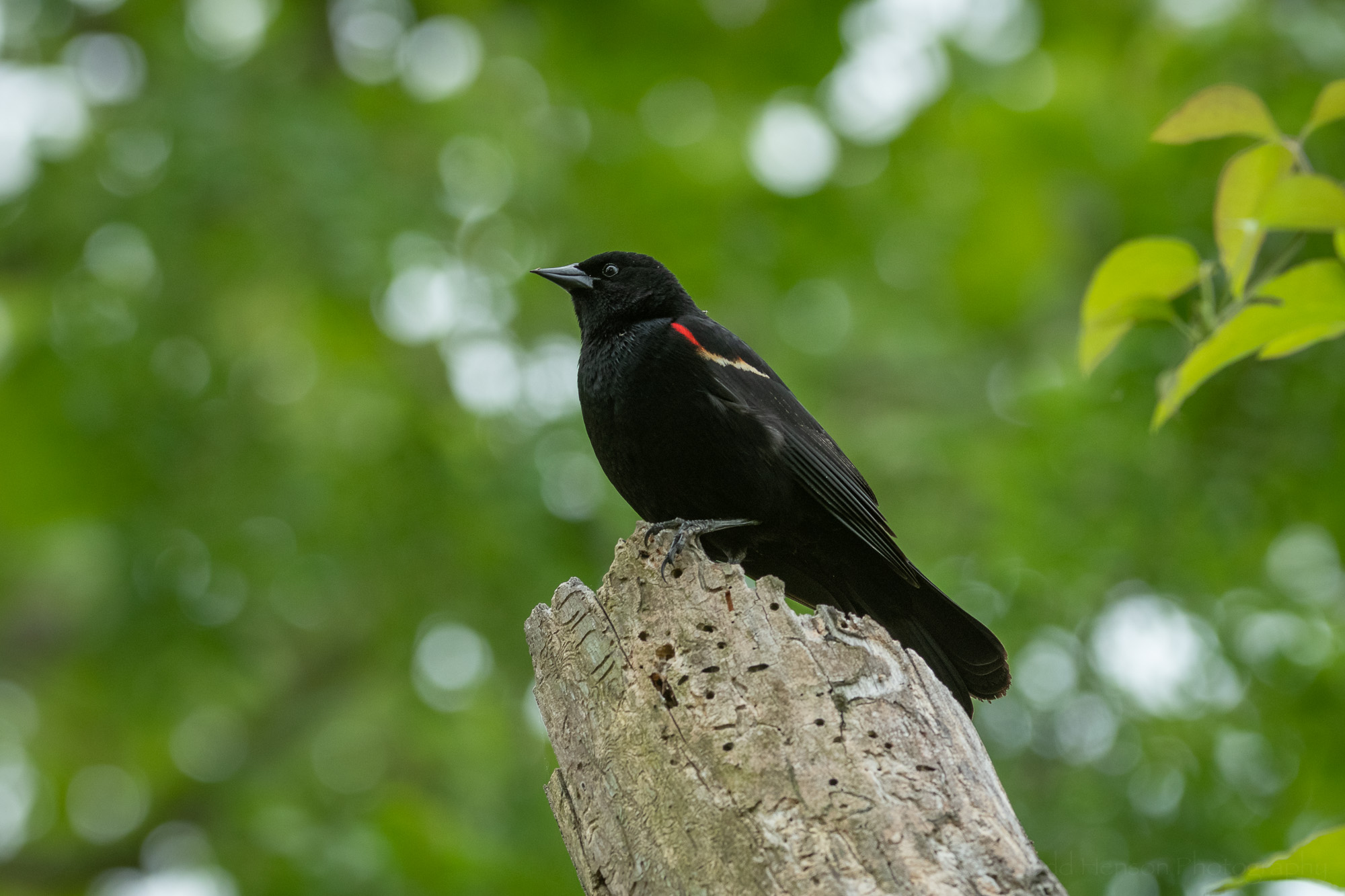 A male Red-winged Blackbird perched atop a dead tree.