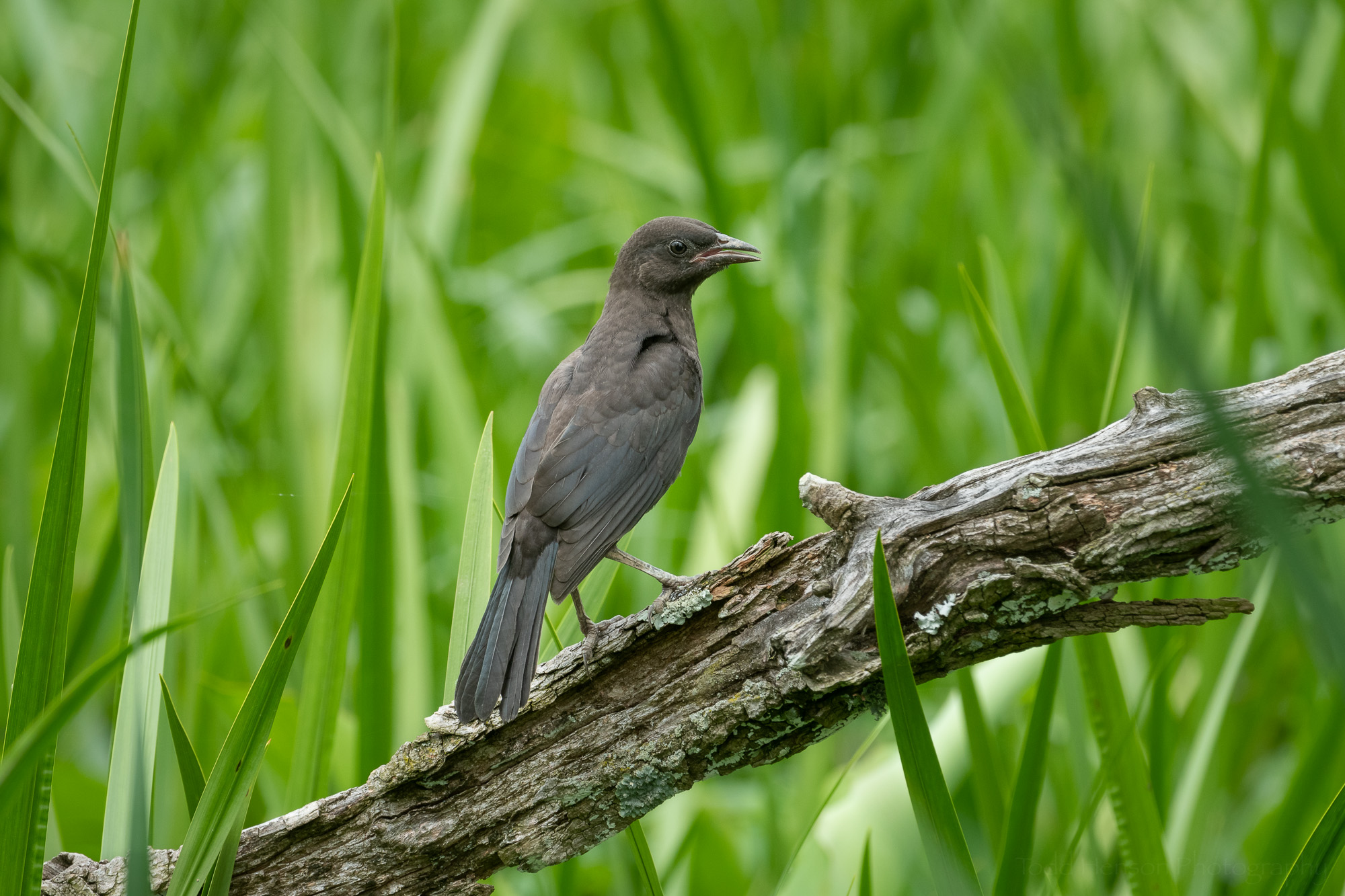 An adolescent Common Grackle resting on a fallen tree.