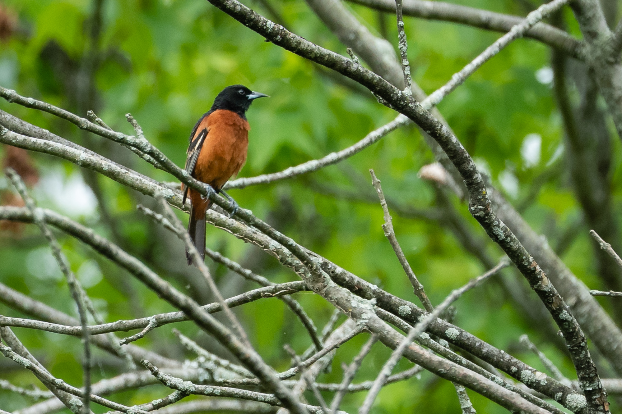 A male Orchard Oriole far off in the distance. This photo is cropped to the extreme to let you see this beautiful bird.
