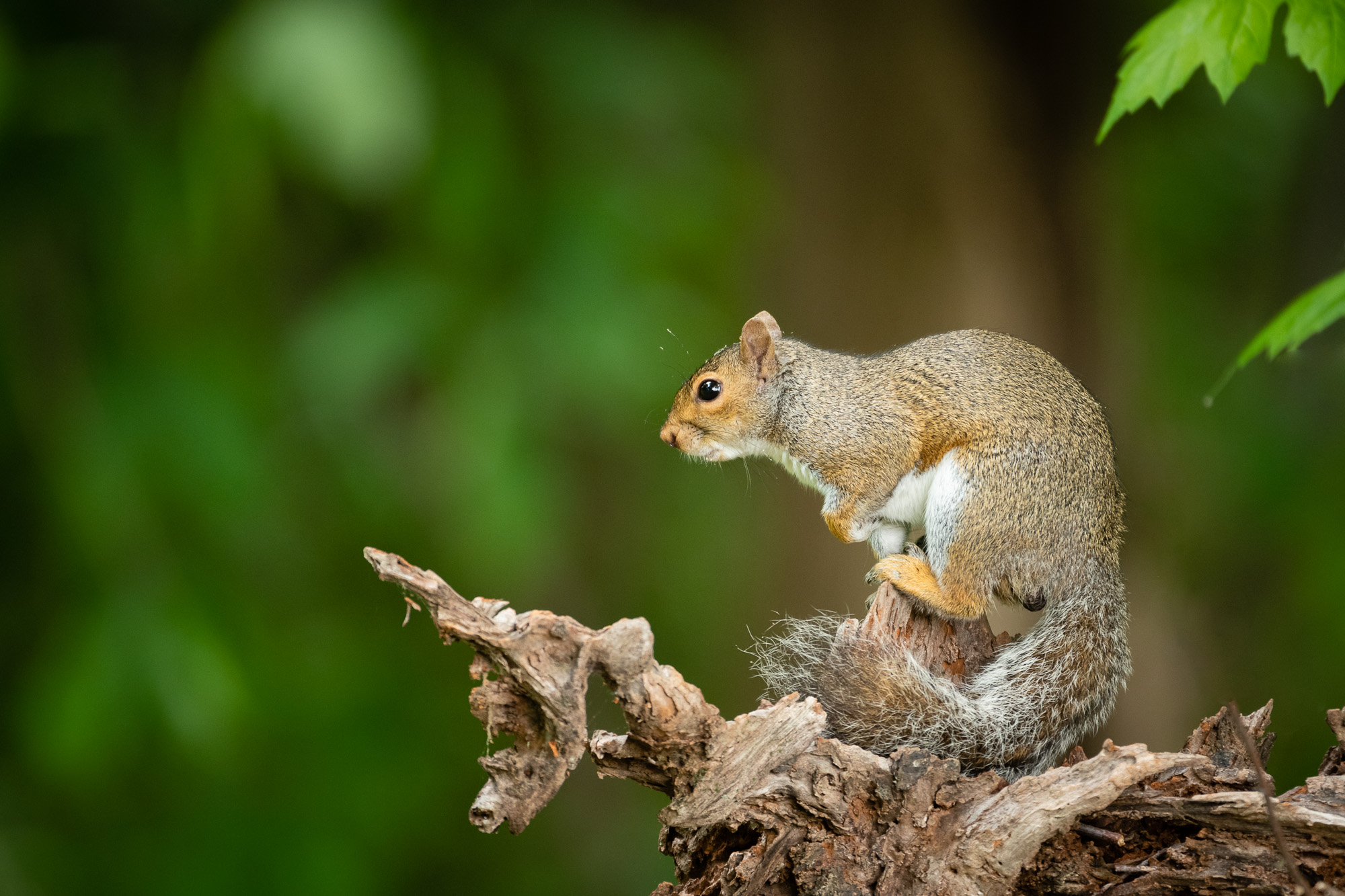 A posing Eastern Gray Squirrel. They may be common, but I still enjoy photographing them.