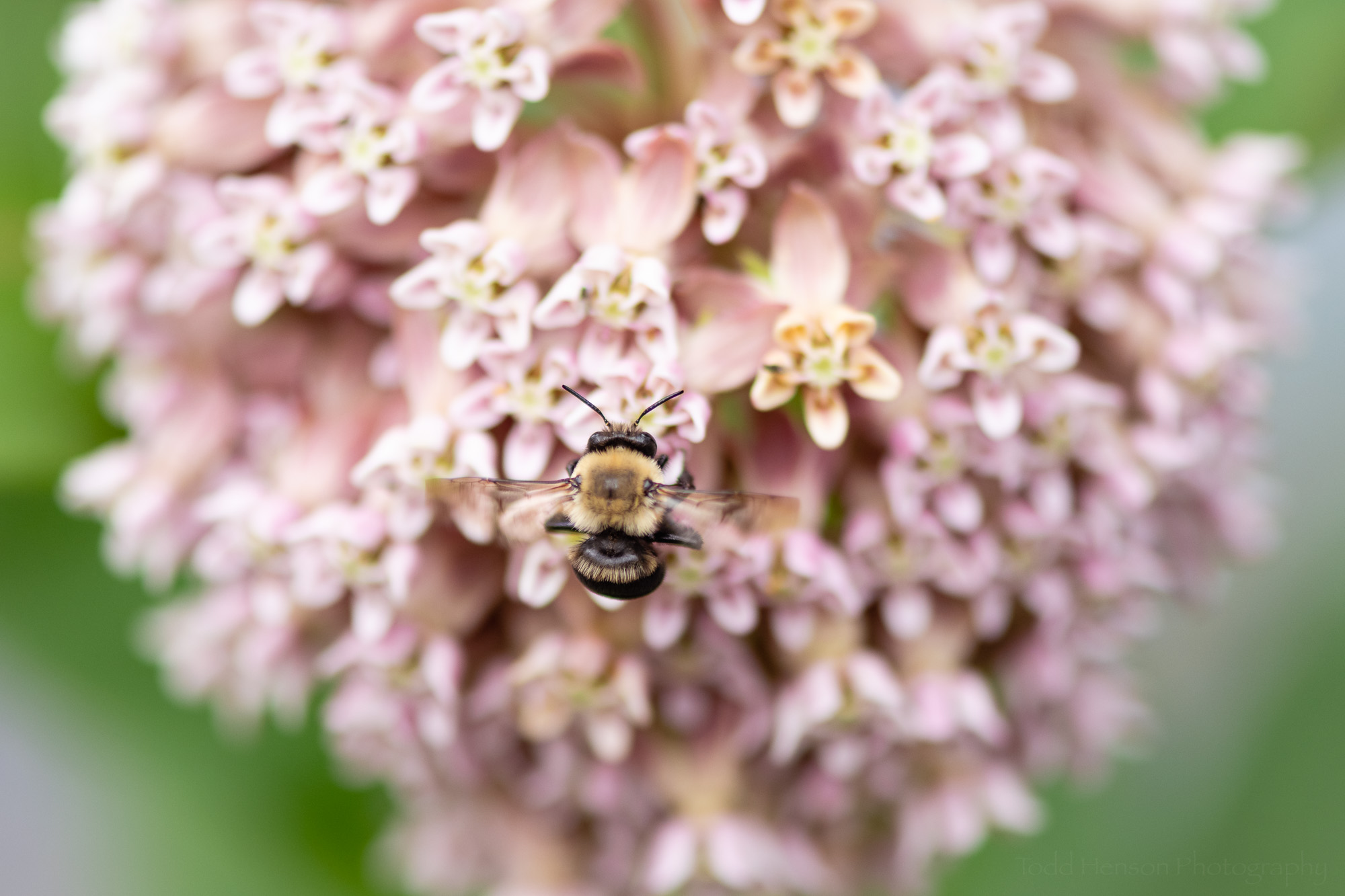 A bumble bee gathering pollen on milkweed.