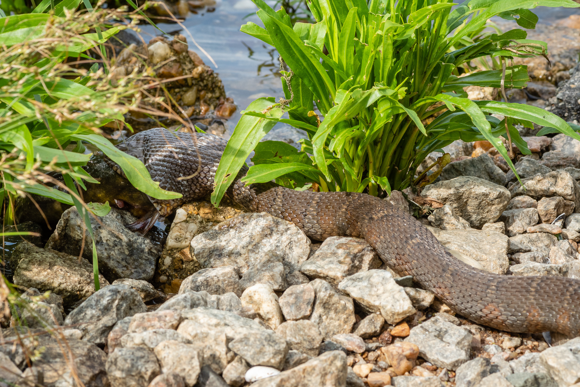 I approached as close to the Northern Watersnake as I thought I could without causing it stress.