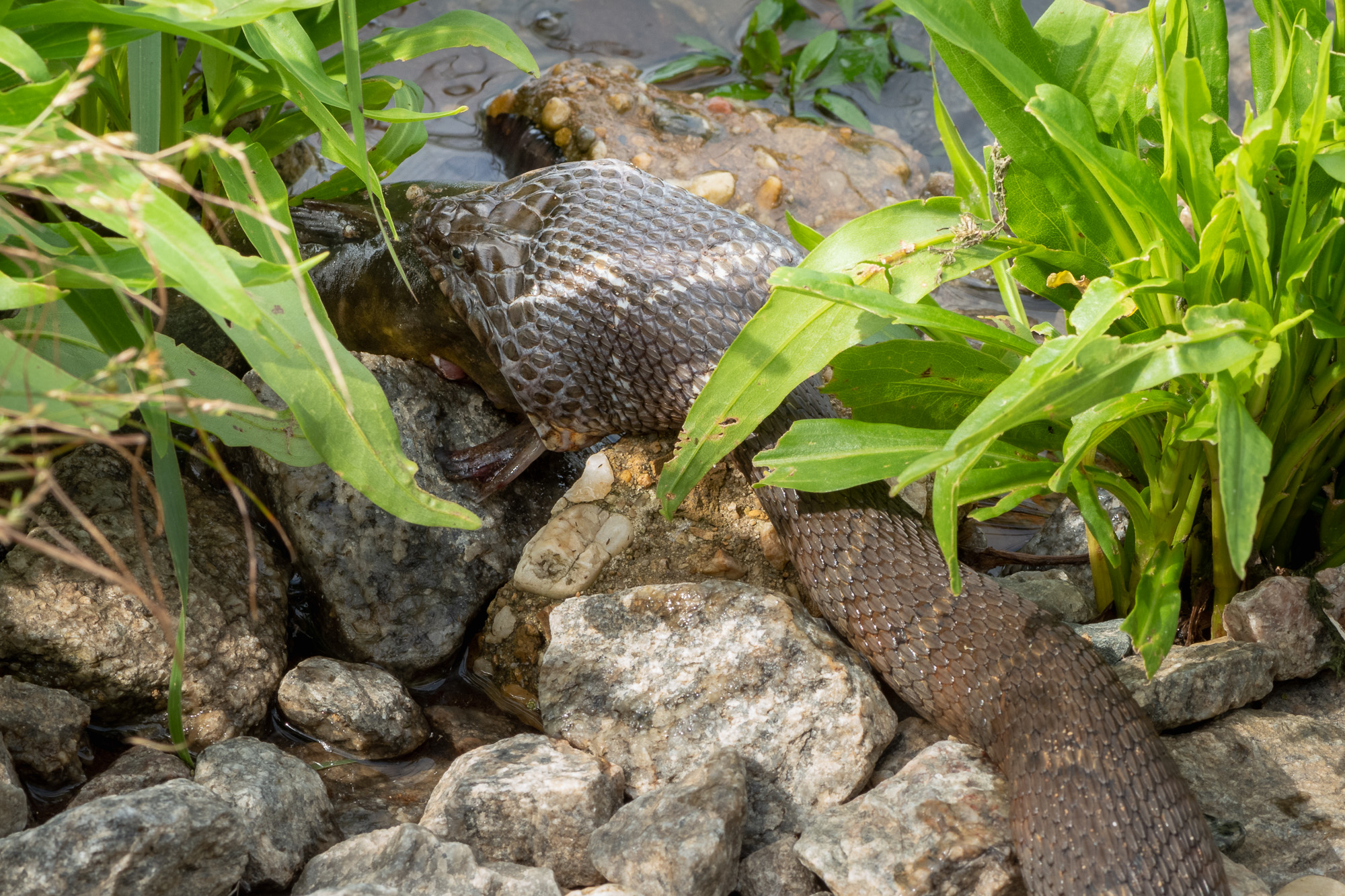 Zooming in on the head of the Northern Watersnake, its mouth open wide around its prey.
