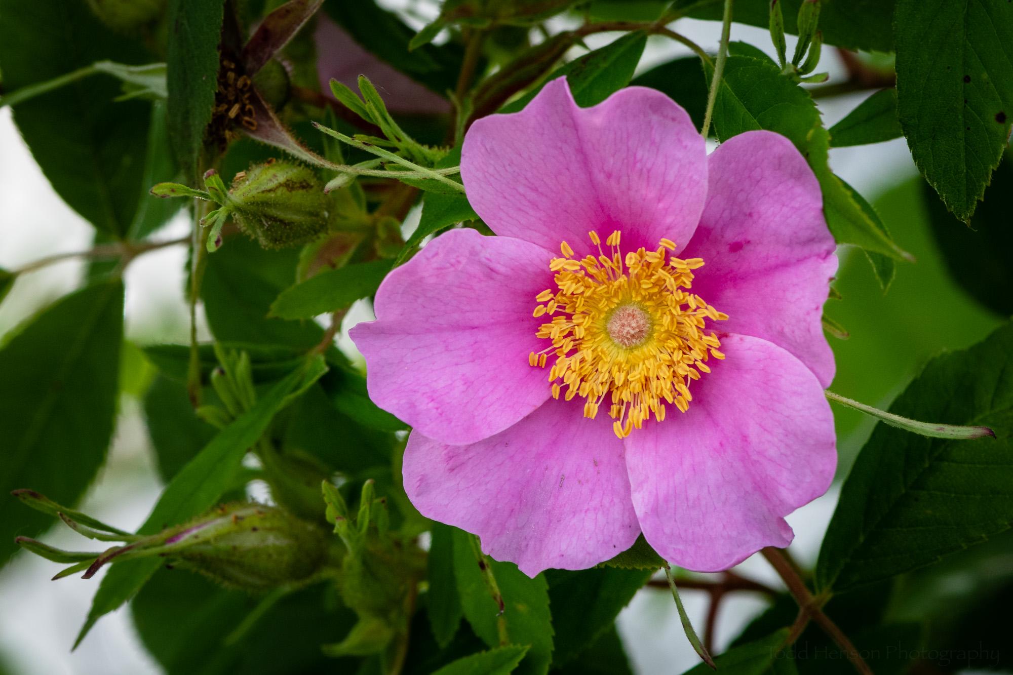 A pink Virginia Rose