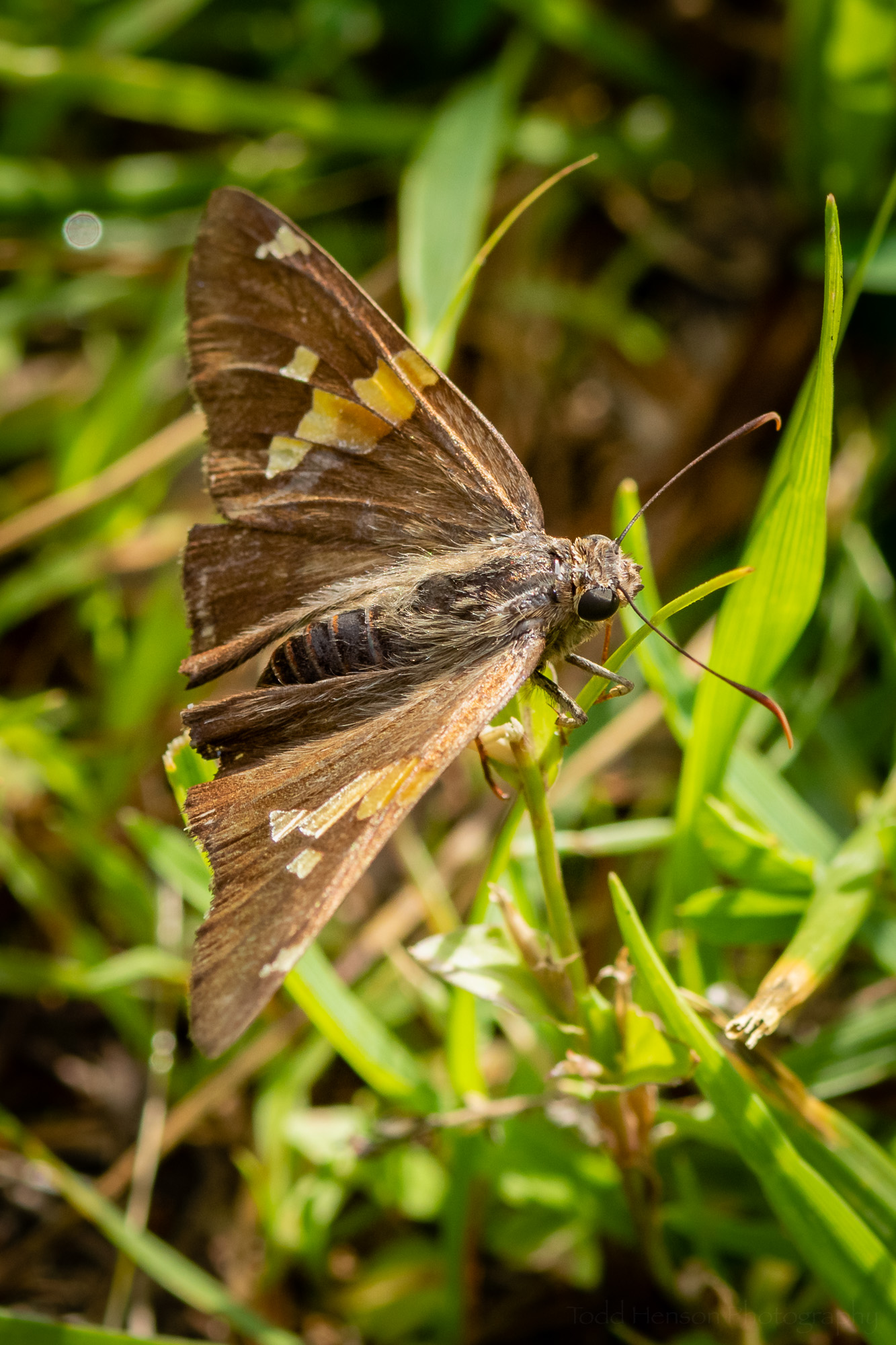 A Skipper butterfly resting on grass. I don't know the specific species of Skipper, but if you do let me know.
