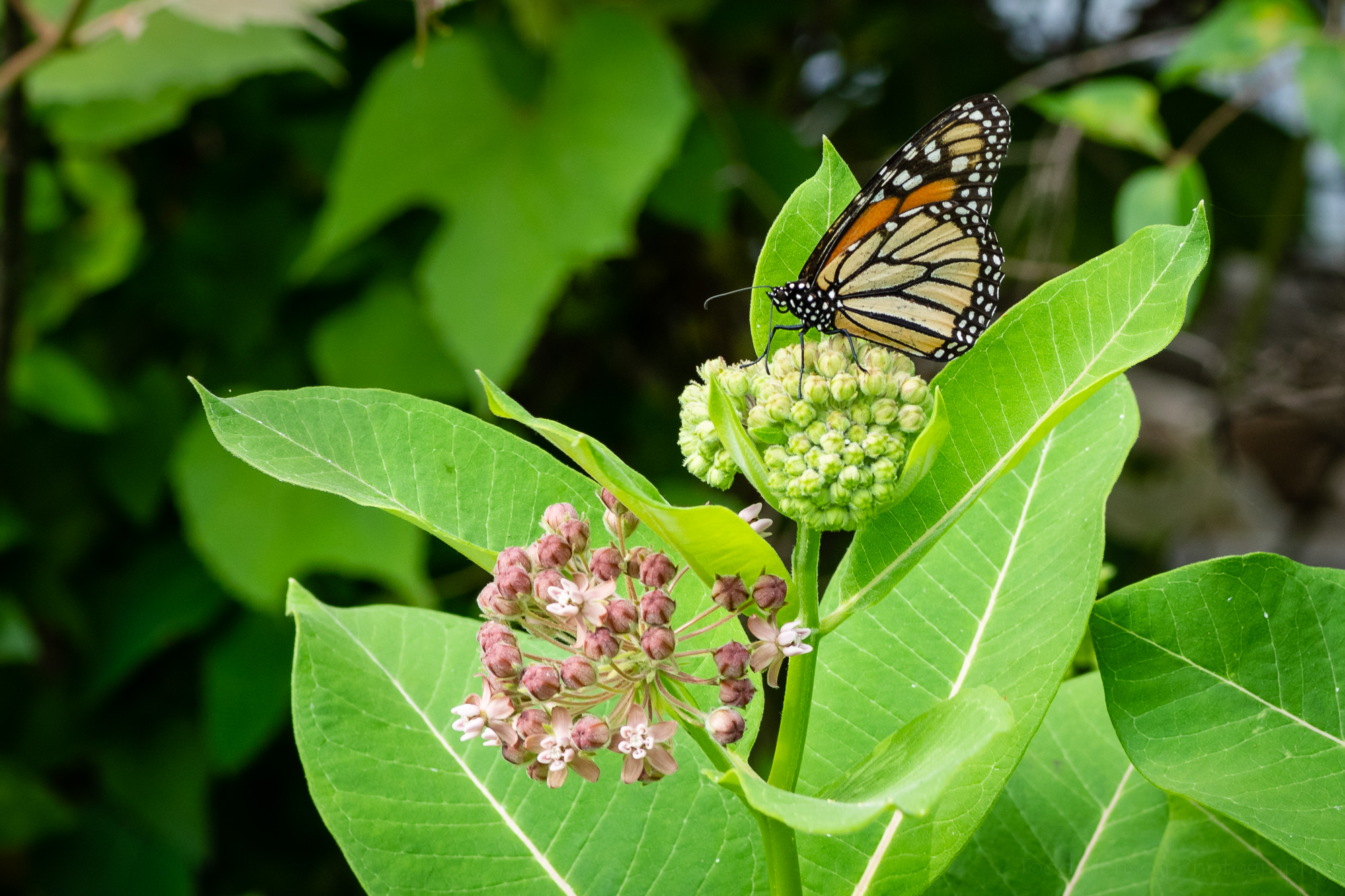 A Monarch butterfly on milkweed.