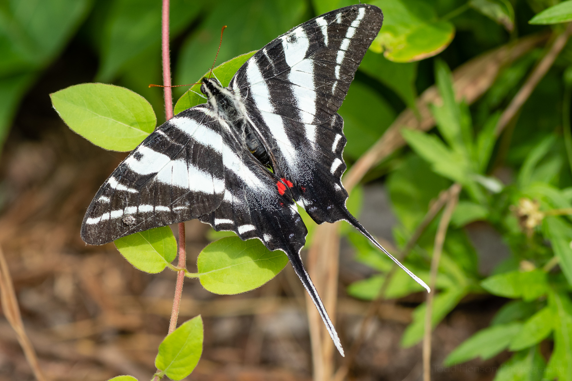 A Zebra Swallowtail butterfly which proved a very patient subject.