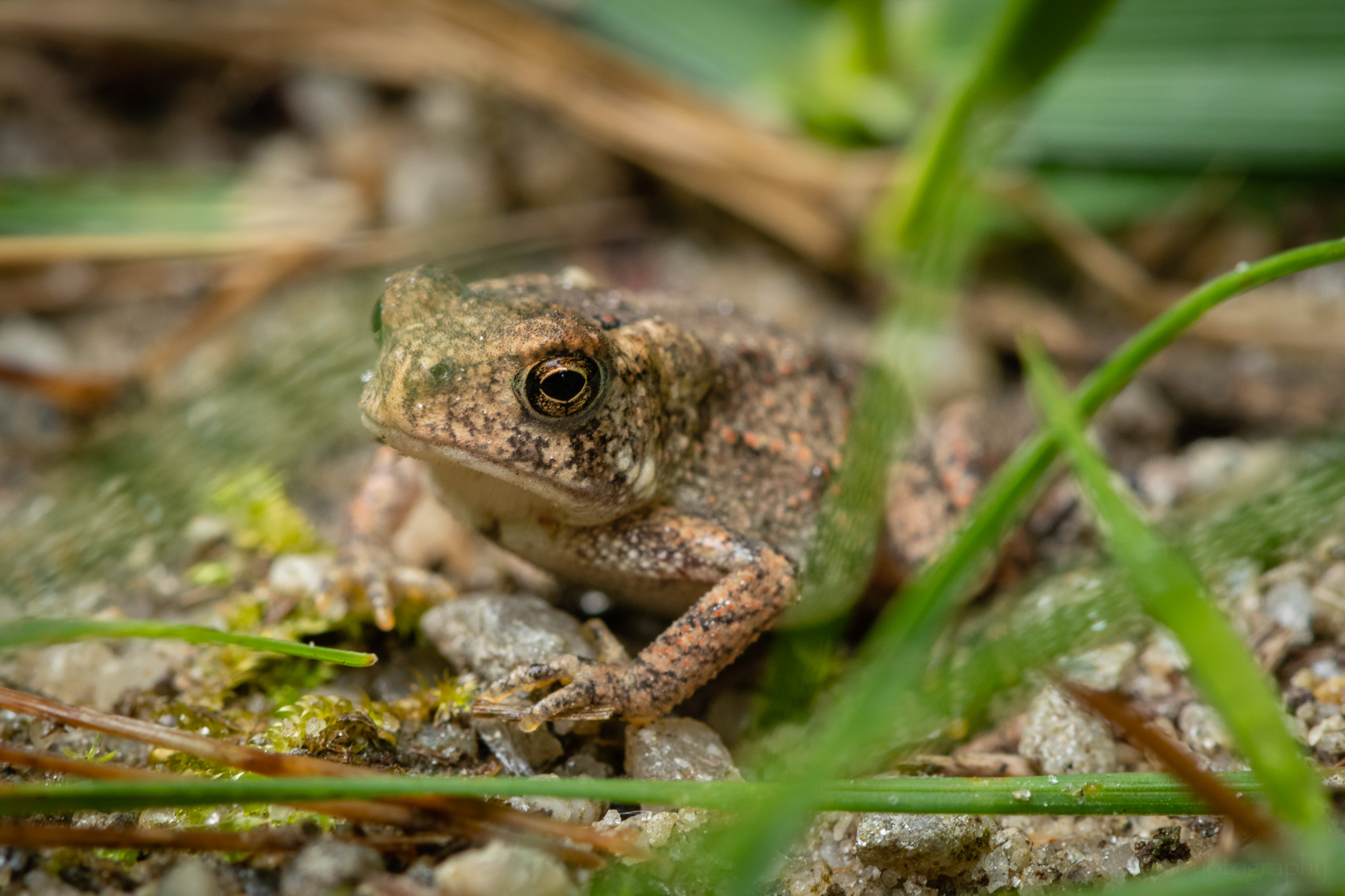 A very small young Eastern American Toad, or perhaps a Fowler's Toad.