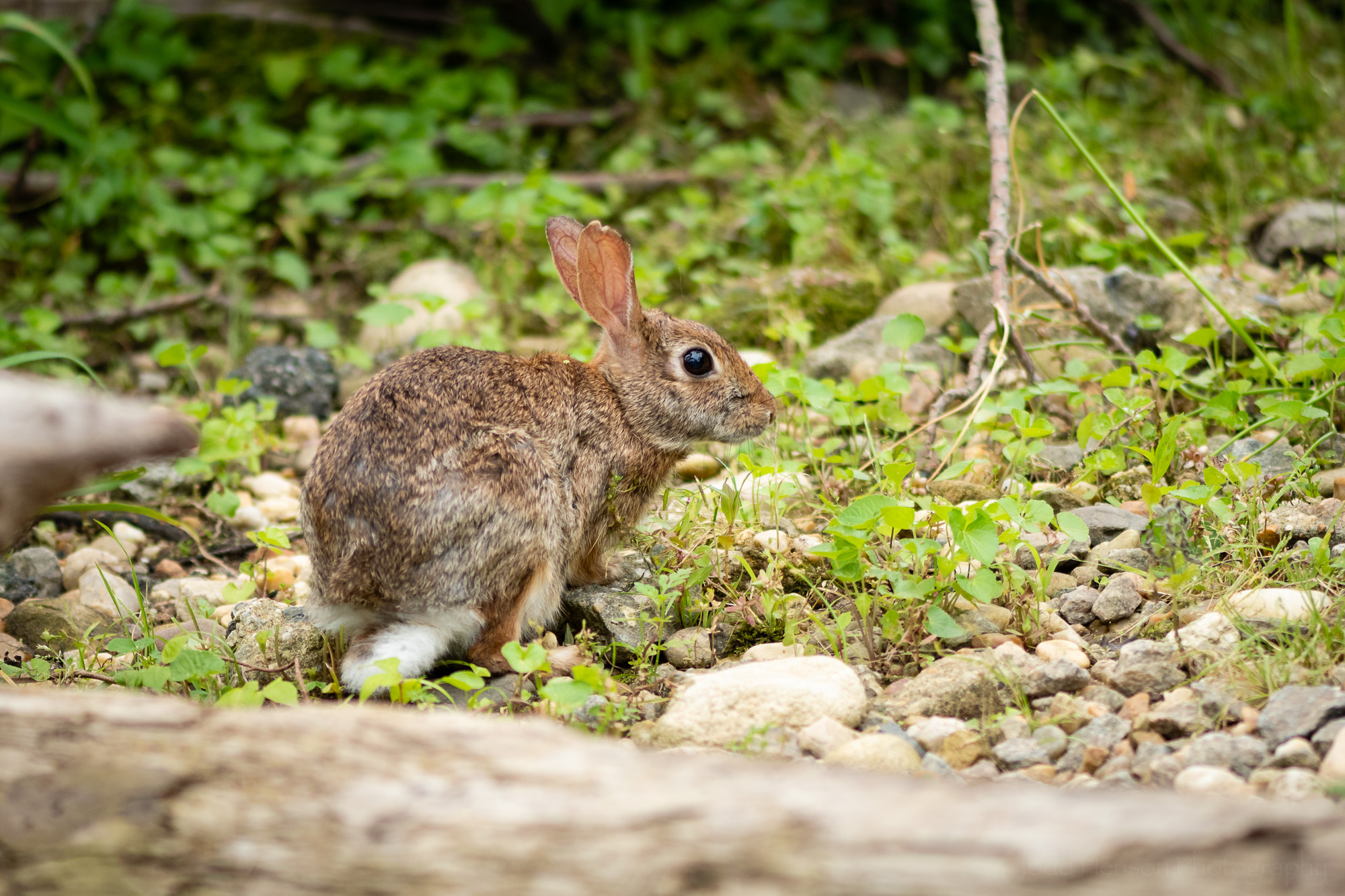 A young Eastern Cottontail rabbit.